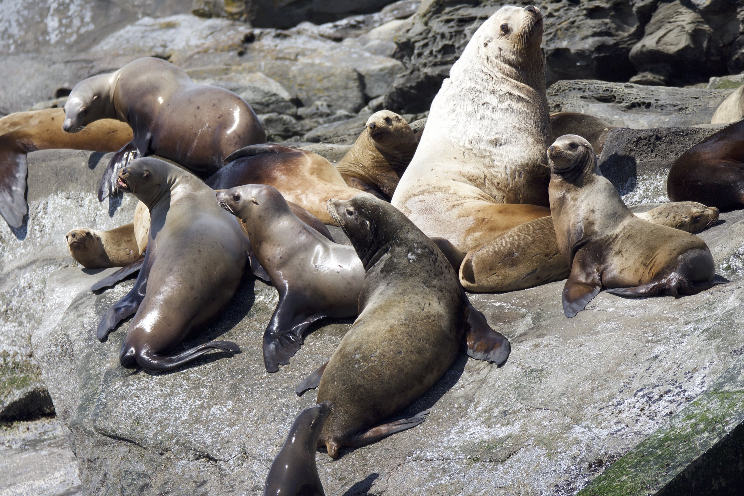 Steller sea lion resting on Entrance Island. Can you pick out the adult male?! Photo by guest Celine Marie