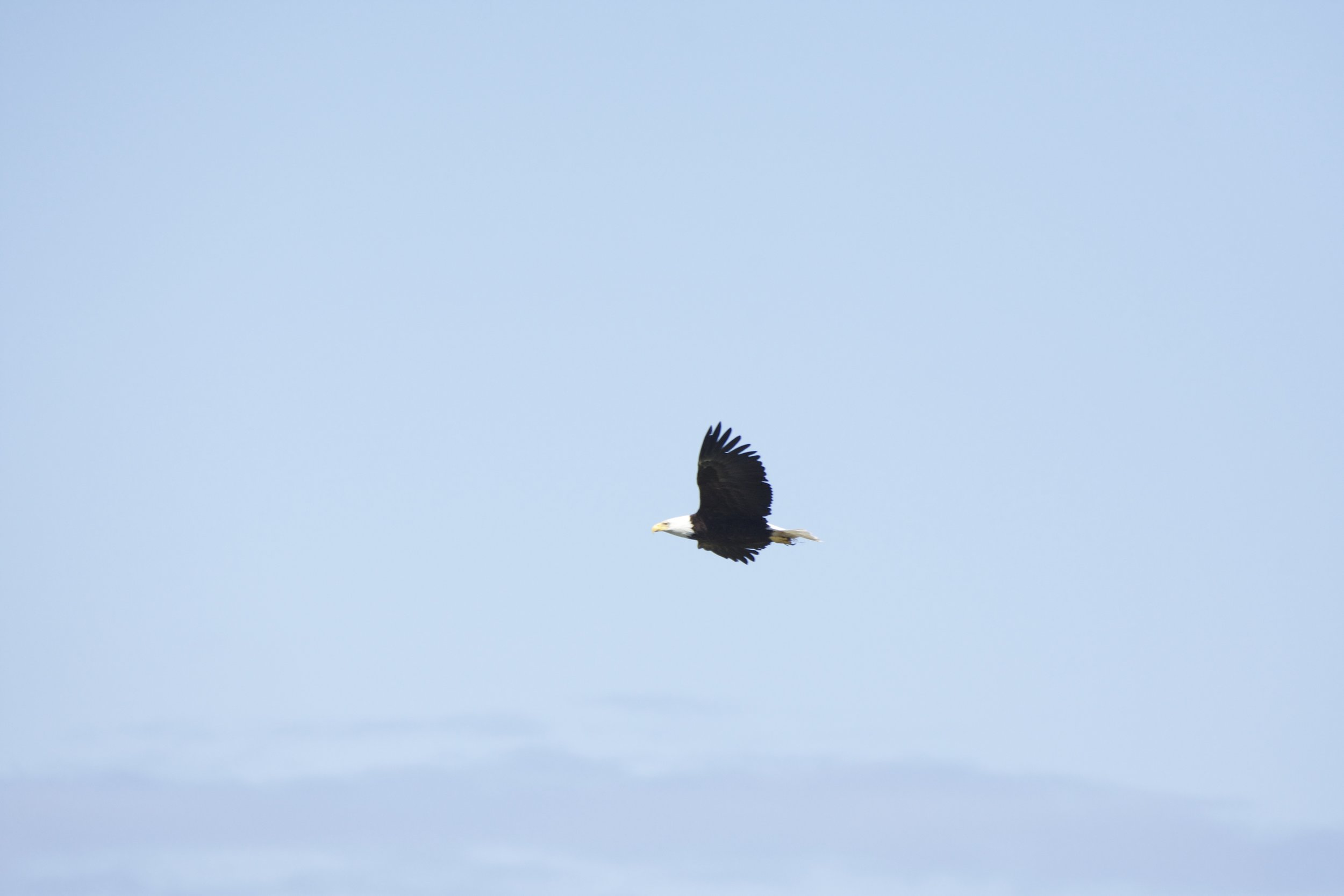 An adult bald eagle soars past our boat. Photo by guest Celine Marie