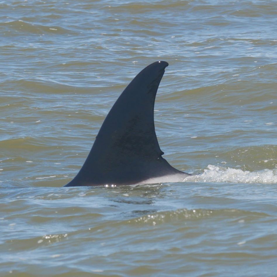 A close up of T36B's dorsal fin. Her unique markings make her the easiest to identify in her pod.
