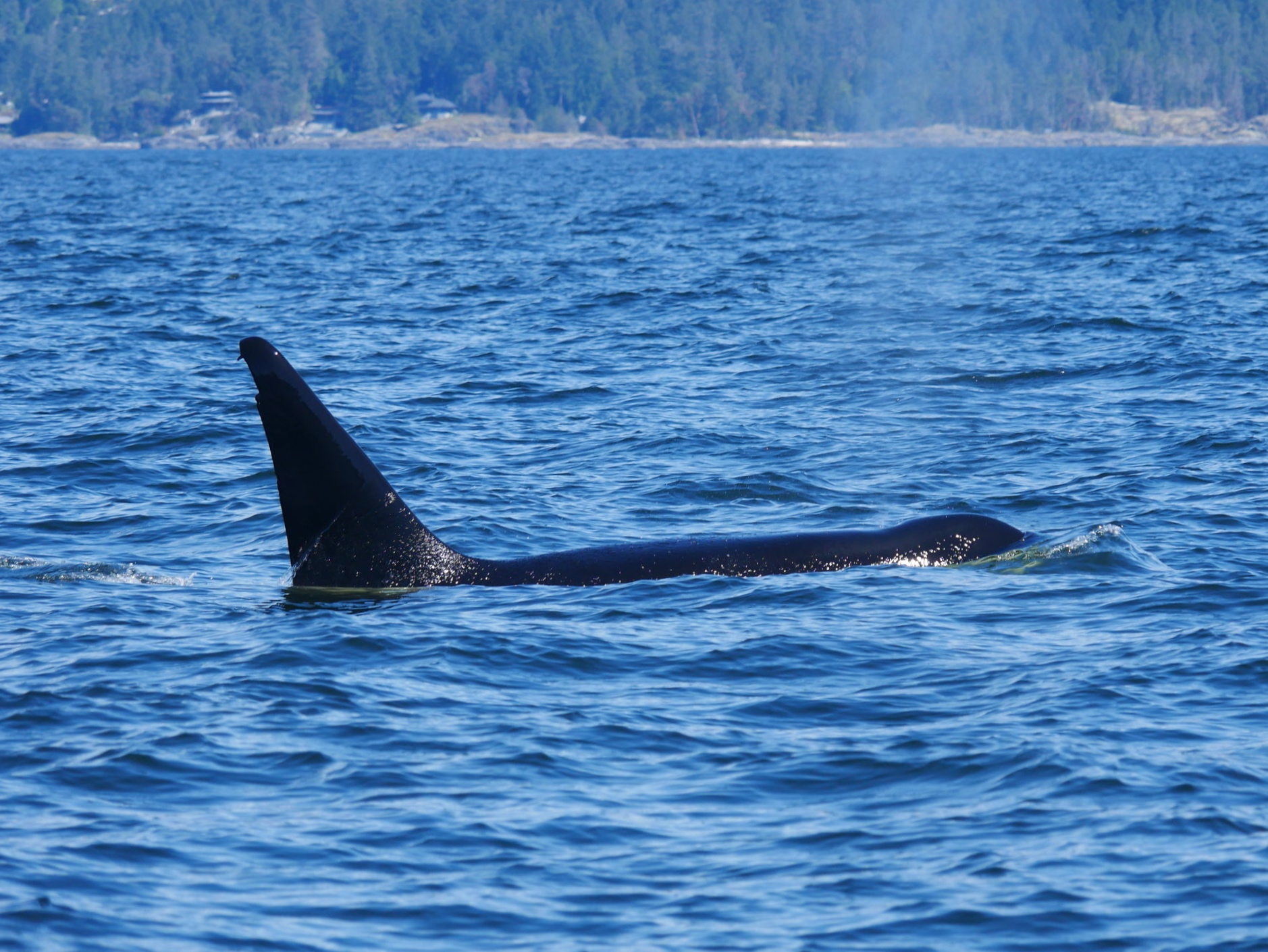 Harbeson with water cascading off of his dorsal fin. A male's dorsal fin can get to 6 feet tall!