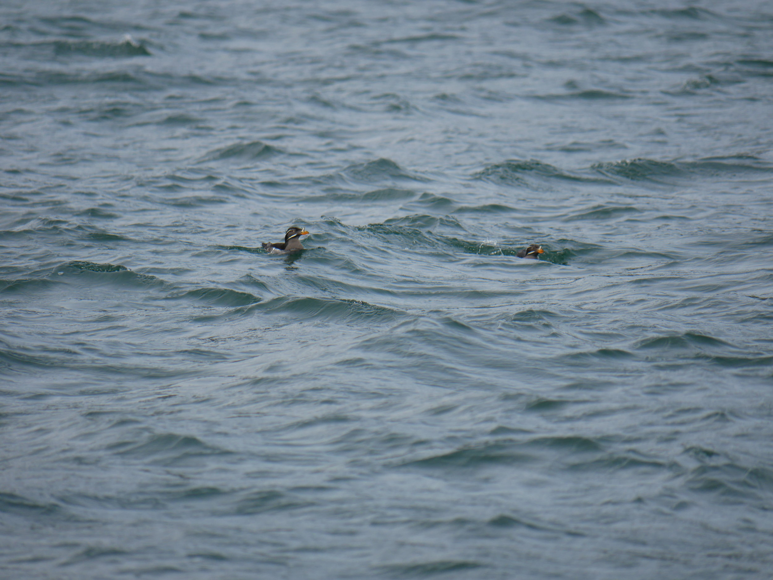 We also had the opportunity of watching these Rhinoceros Auklet