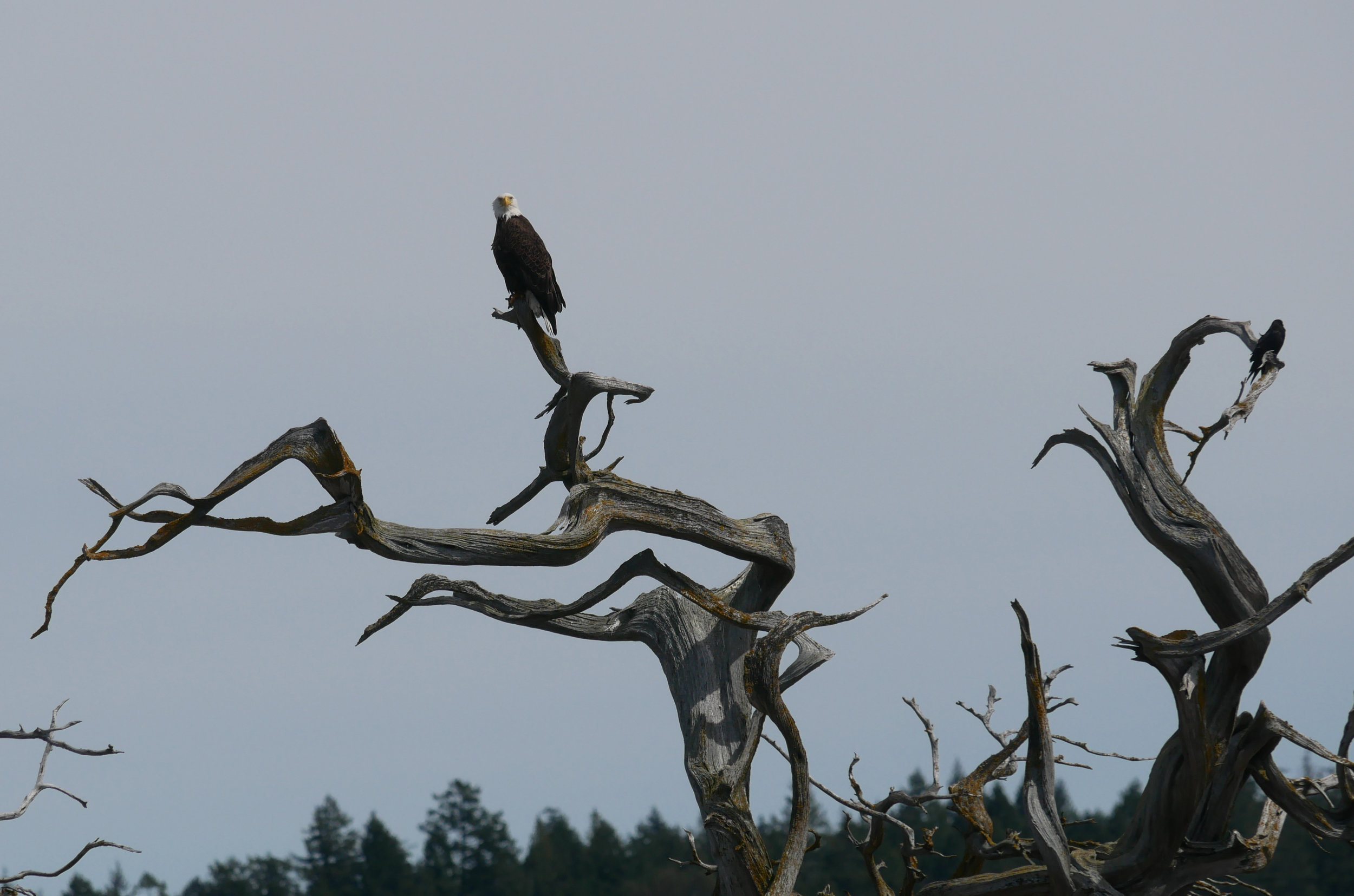 An adult Bald Eagle perched on top of a tree watching our guests. Photo by Alanna Vivani.