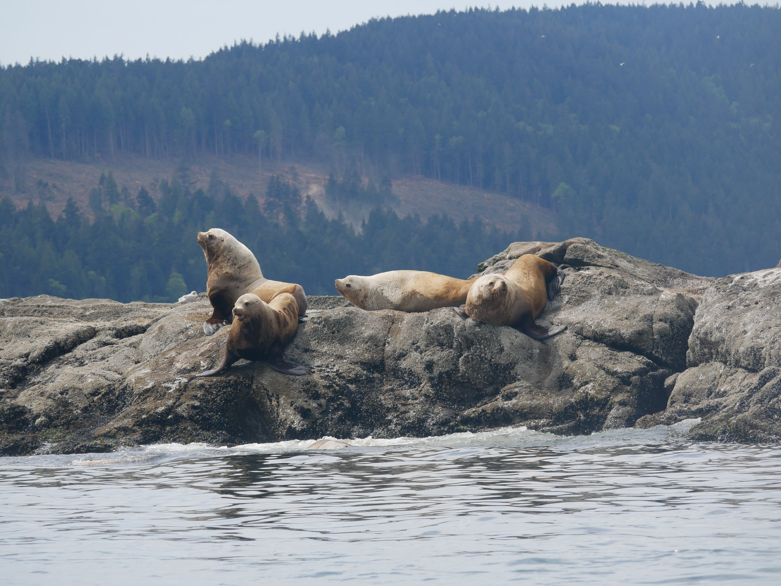 Big Steller's Sea lions! Check out the branding on the one in the front. The branding is used as a long-term tracking method to keep track of individuals and be able to identify them from a far distance.  Photo by Alanna Vivani.