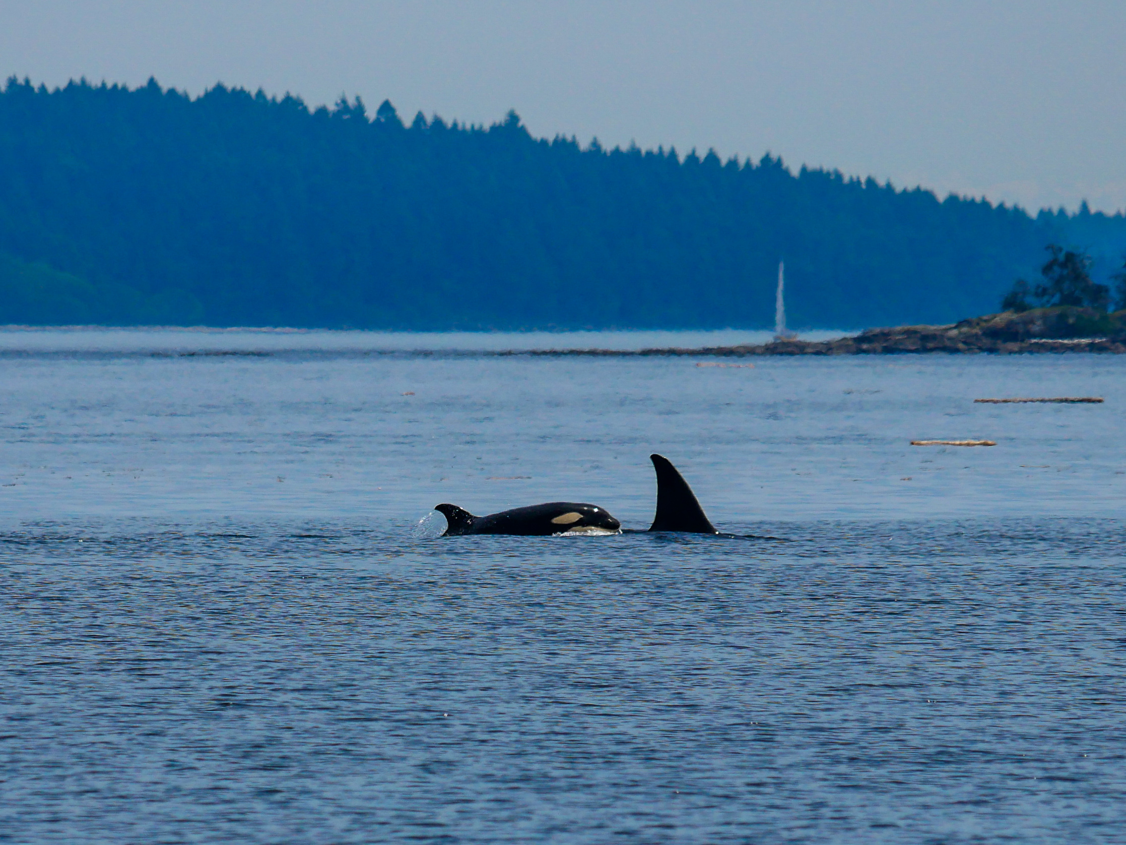T123D surfaces, notice a yellow hue to the eye patch - common in orca calves. Photo by Alanna Vivani.