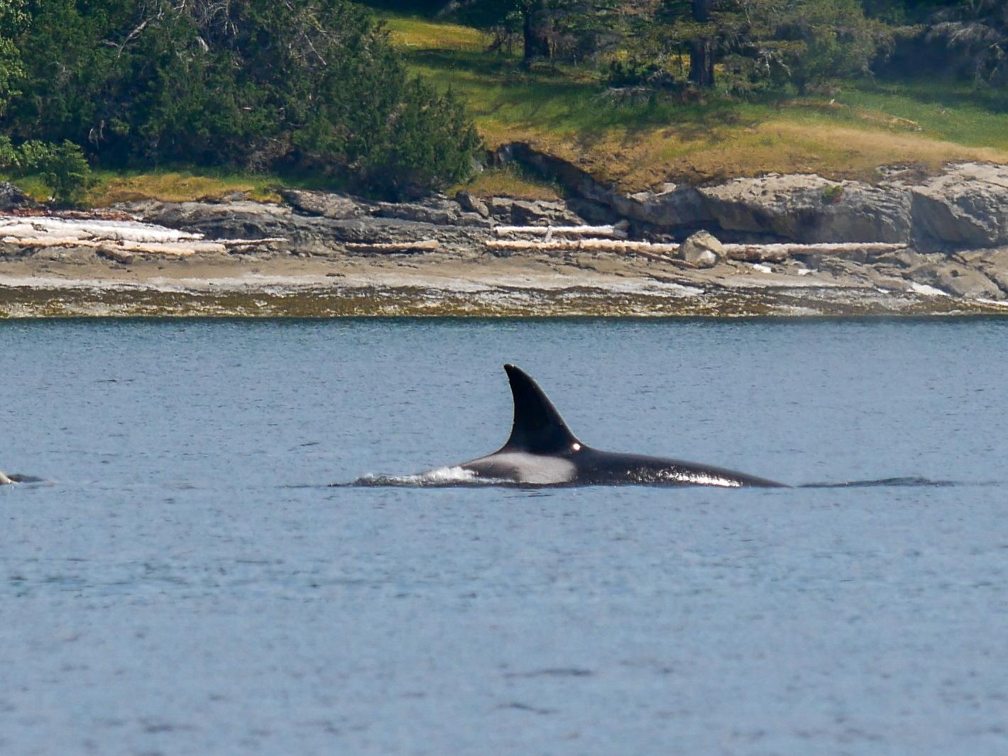 "T86A, ""Eider"", with 2 nicks on her dorsal fin. Photo by Alanna Vivani."