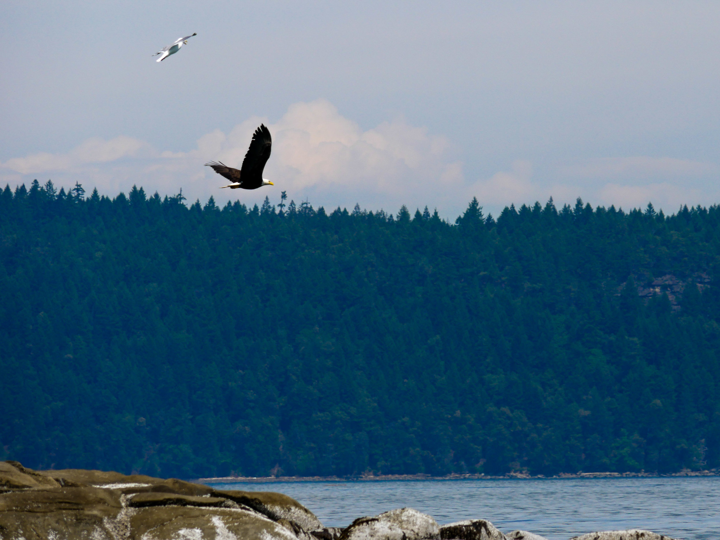 The bald eagle taking off just as we spotted it! Photo by Alanna Vivani.