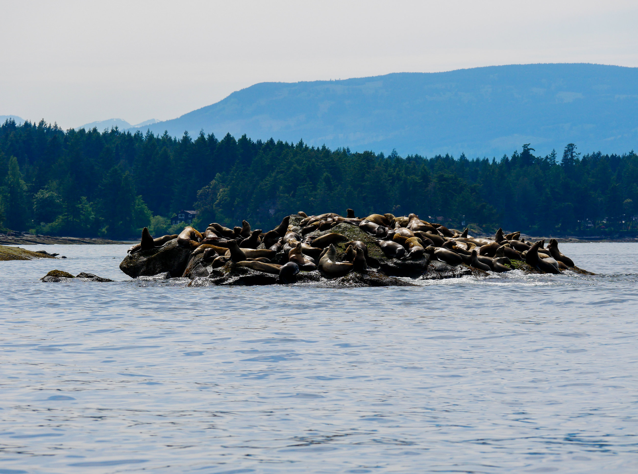 One of the many haul-outs of sea lions we saw today, how many can you count? Photo by Alanna Vivani.