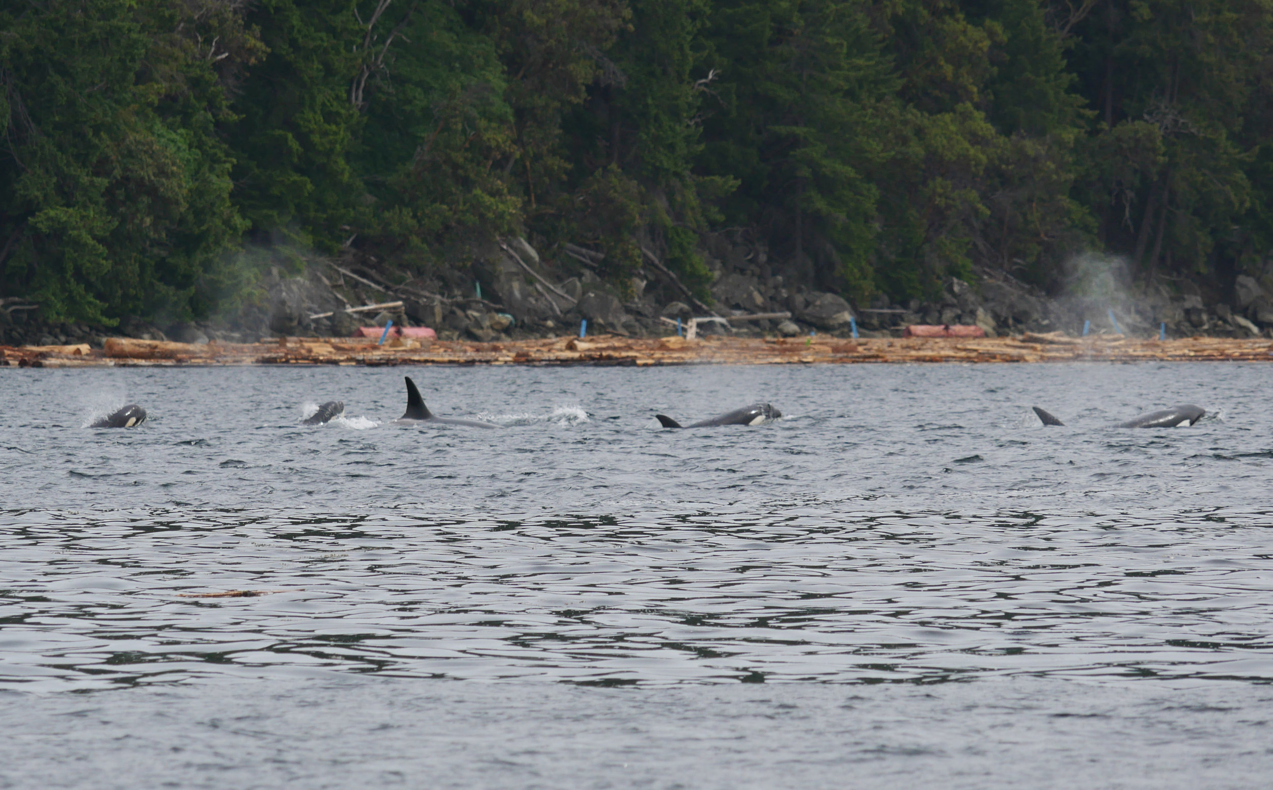 Five of the whales surfacing together heading towards Dodds Narrows! Photo by Rodrigo Menezes.