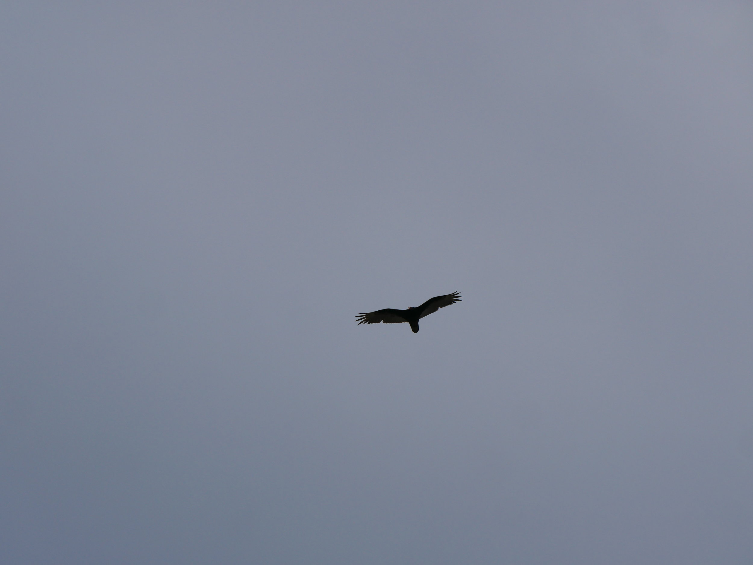 Turkey vulture riding the thermals.