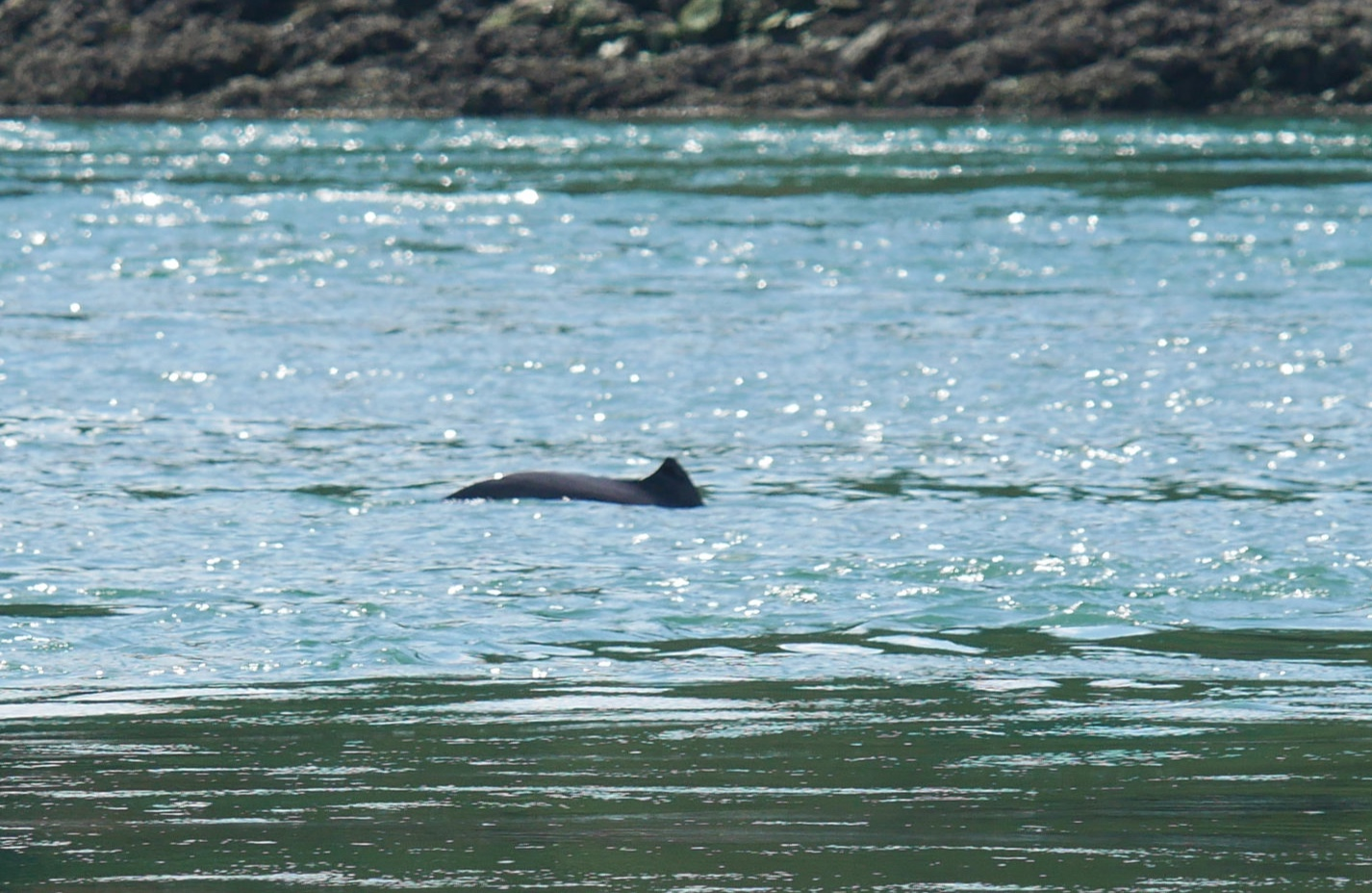 The elusive Harbour Porpoise! These guys are so fast it can be hard to get a good picture.