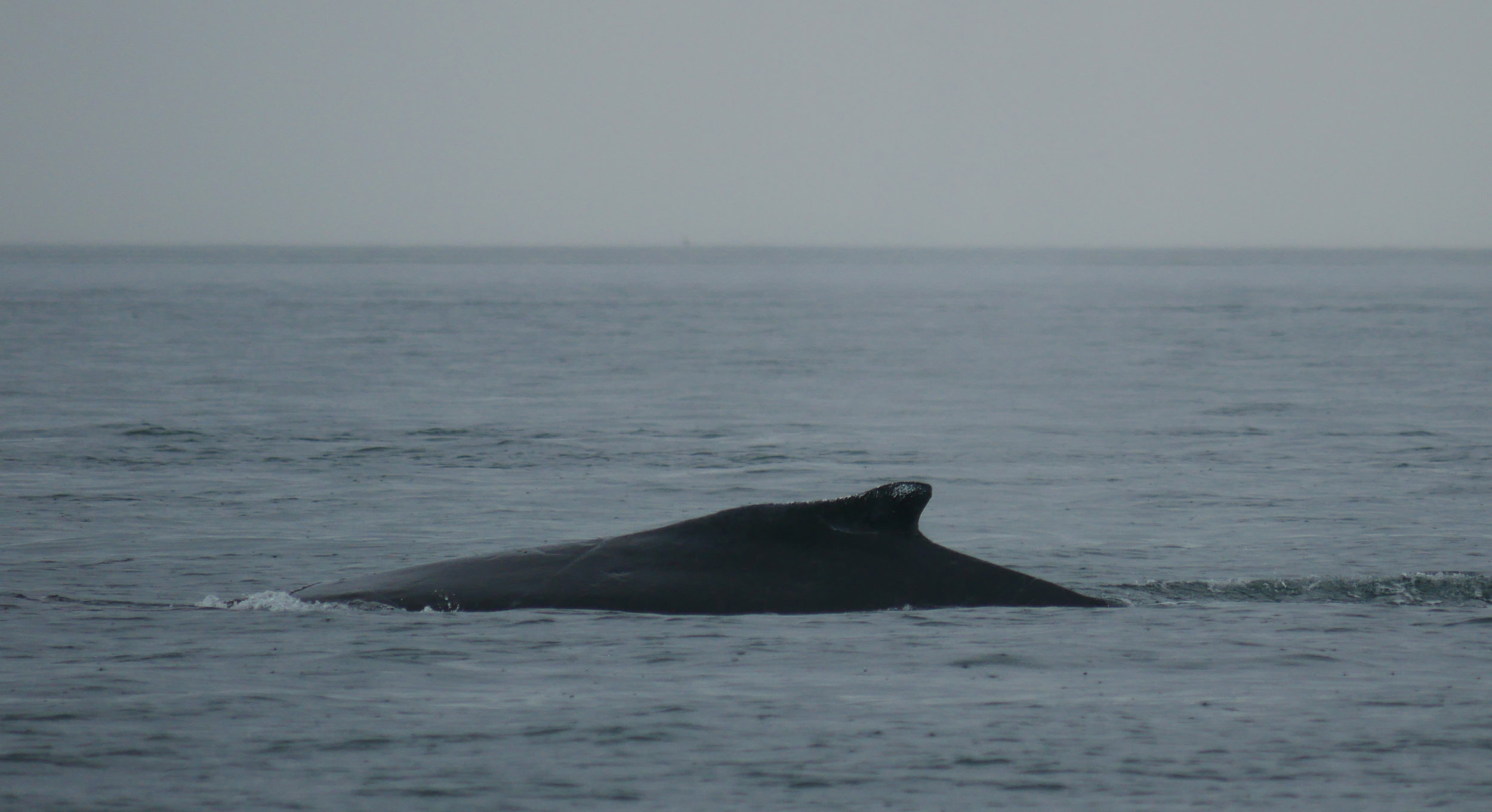 Windy can be identified by the white patch on her dorsal fin. Photo by Val Watson.