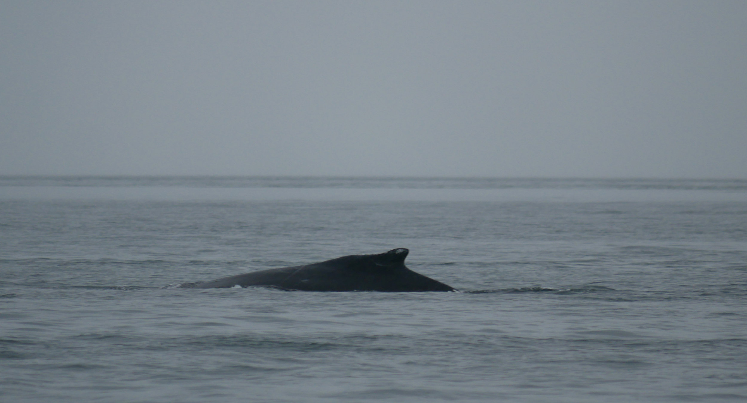 Another great look at the ID spot on Windy's dorsal. Photo by Val Watson.