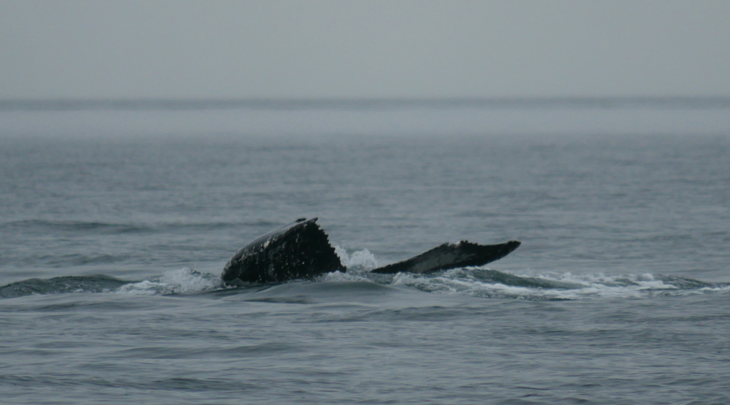 The white patch visible is one of the ways to ID the whales. Photo by Val Watson.