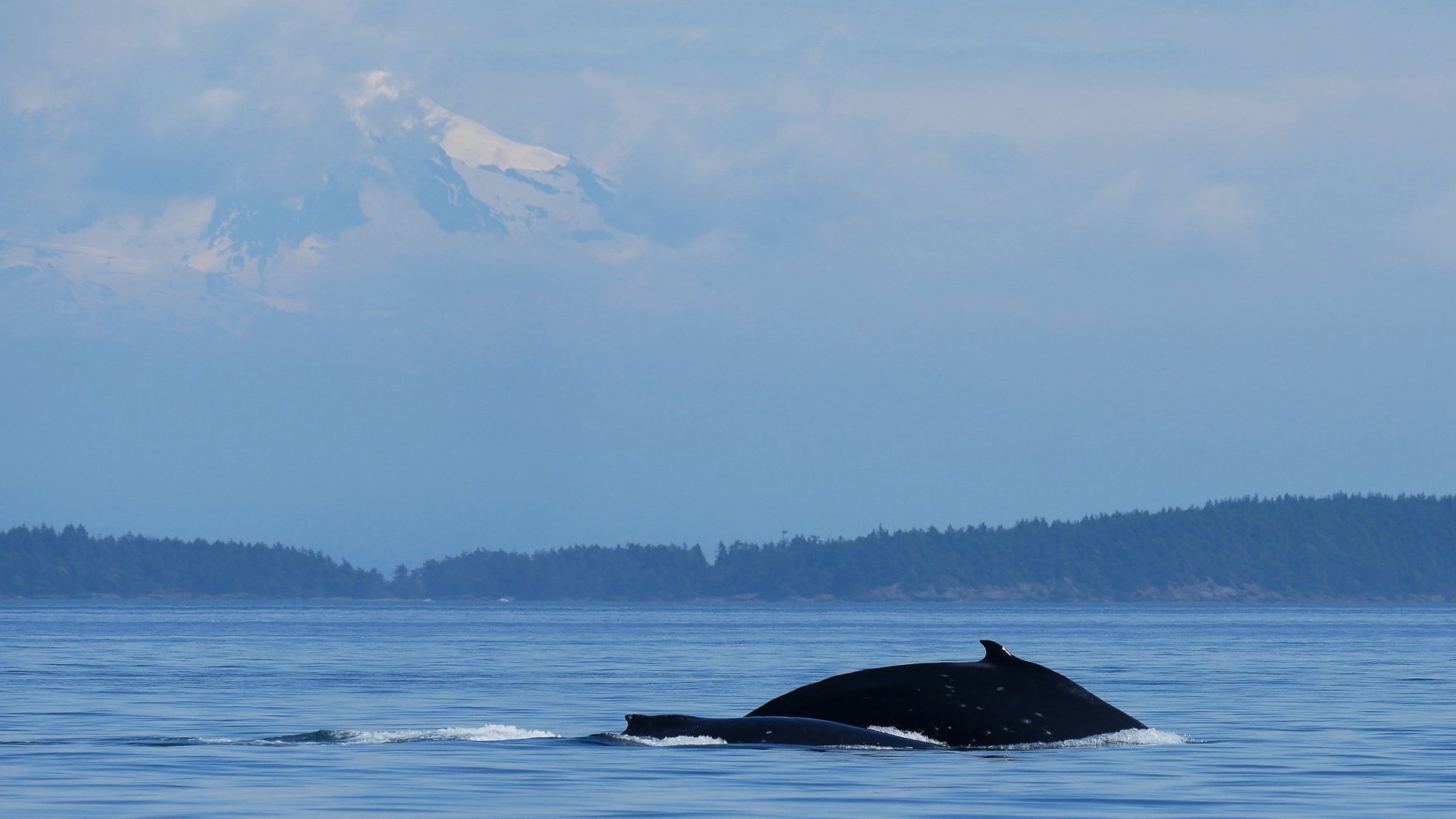 Slate and her new calf with Mount Baker in the background. Photo: Rodrigo Menezes