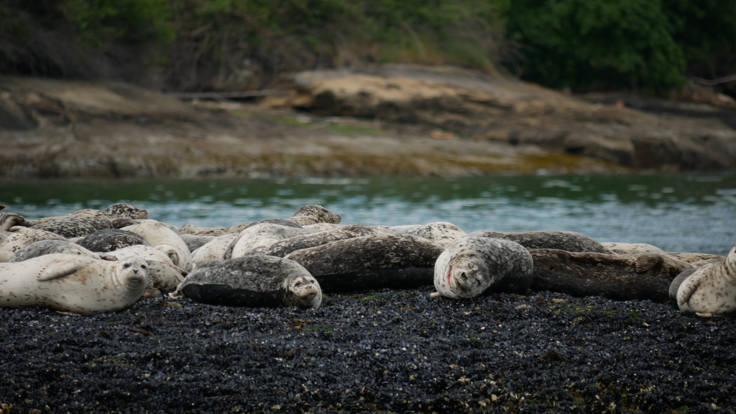 Harbour seals hauled out on the rocks! Check out the red on the ones neck, perhaps a run-in with some transient orca? Photo by Rodrigo Menezes.