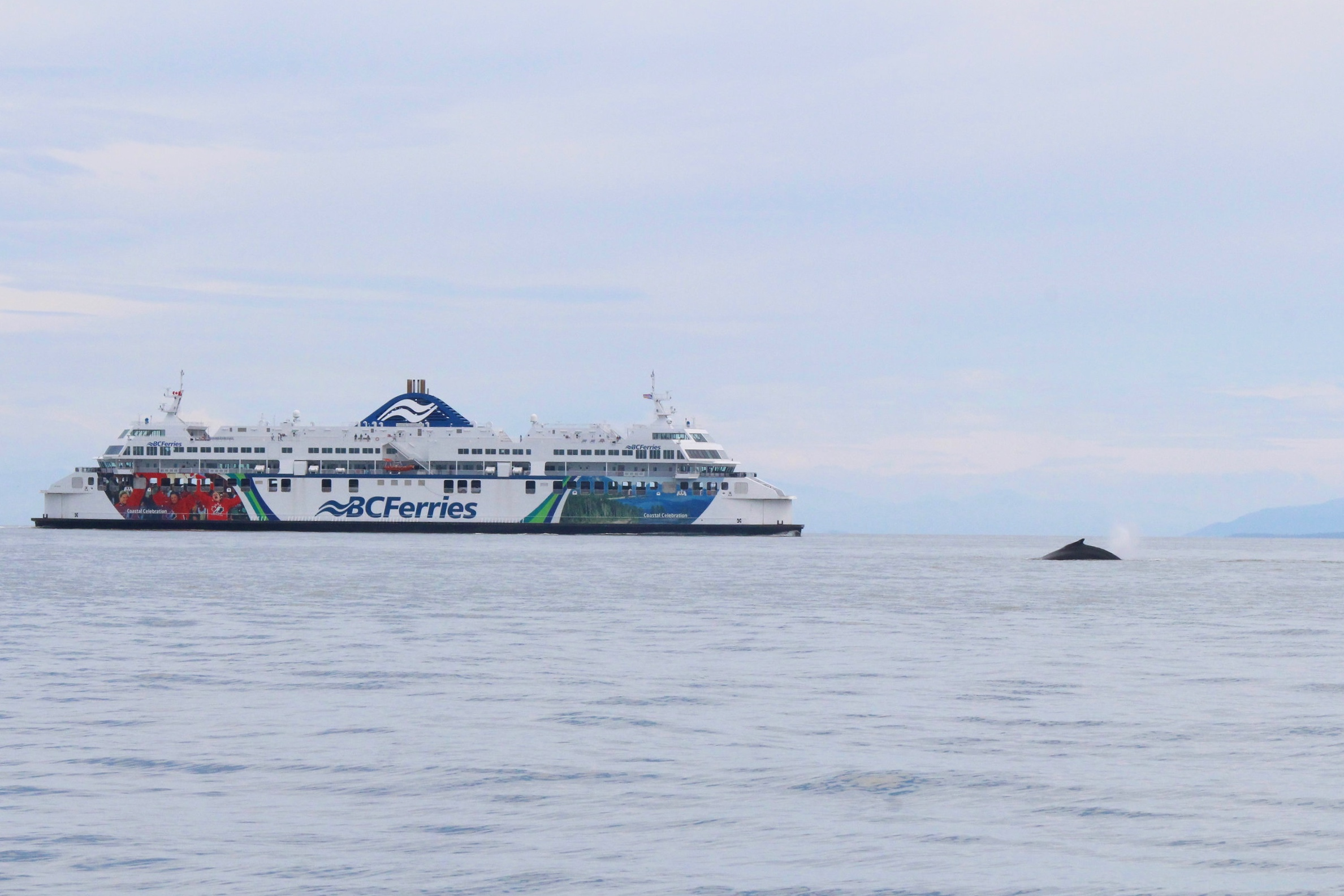 Active Pass is just that, active! BC Ferries passengers get a look at these two humpbacks before they go on a deep dive. Photo by Natalie Reichenbacher