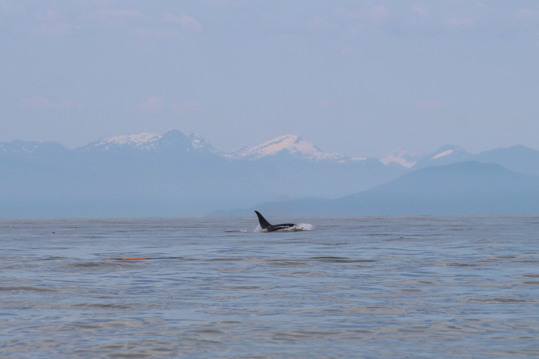 One of the T101s foraging in the Strait! Photo by Natalie Reichenbacher