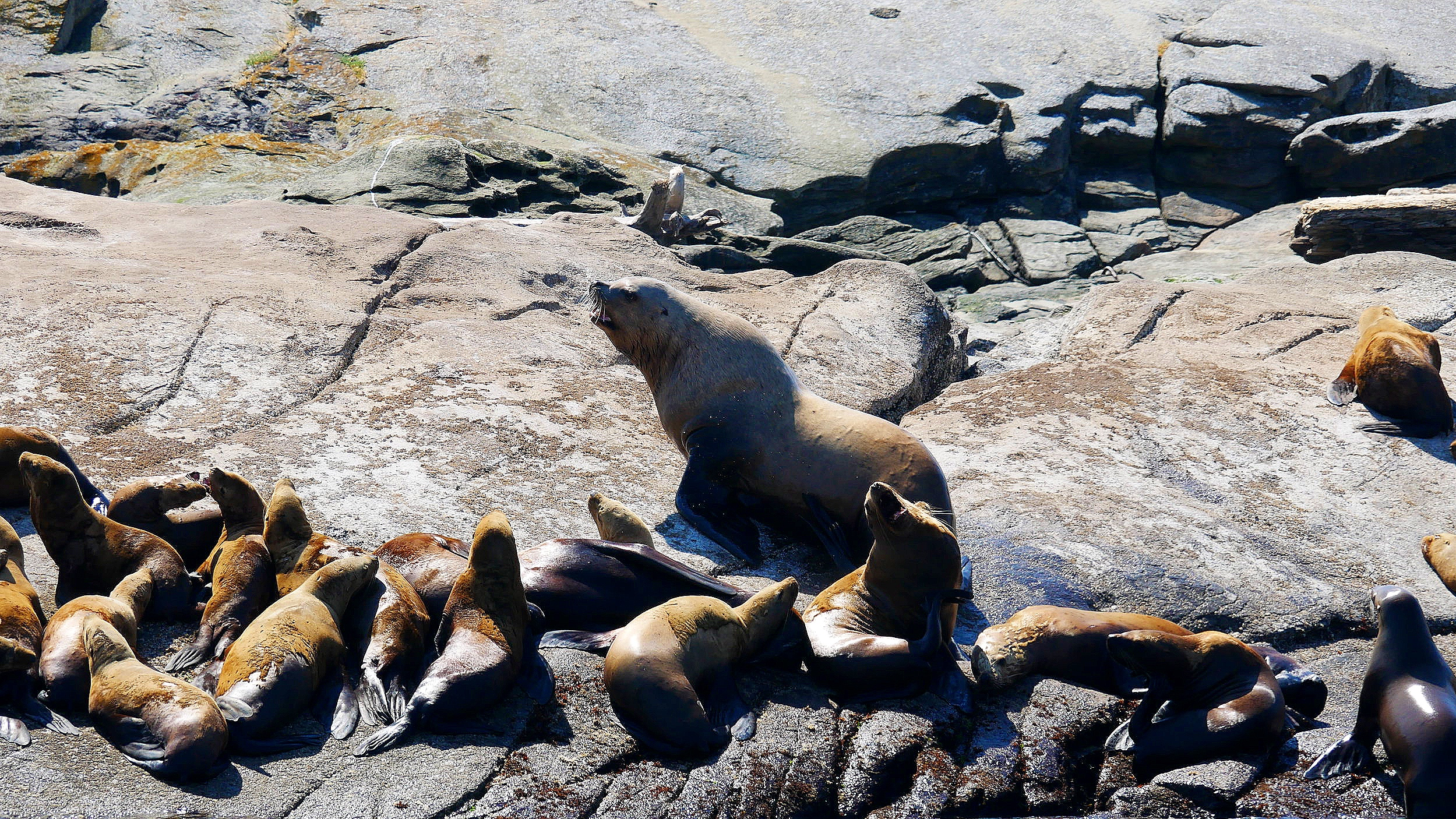 Steller sea lions at Entrance Island. Check out the difference in size of a big male to juveniles and females. Photo: Rodrigo Menezes