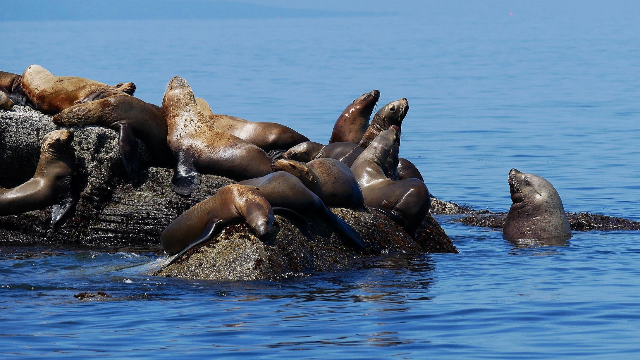 Steller sea lions. Photo: Rodrigo Menezes