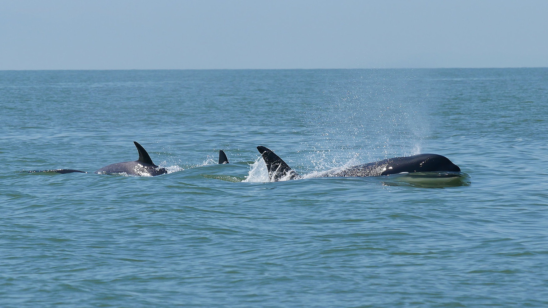 Orca party! Photo: Rodrigo Menezes
