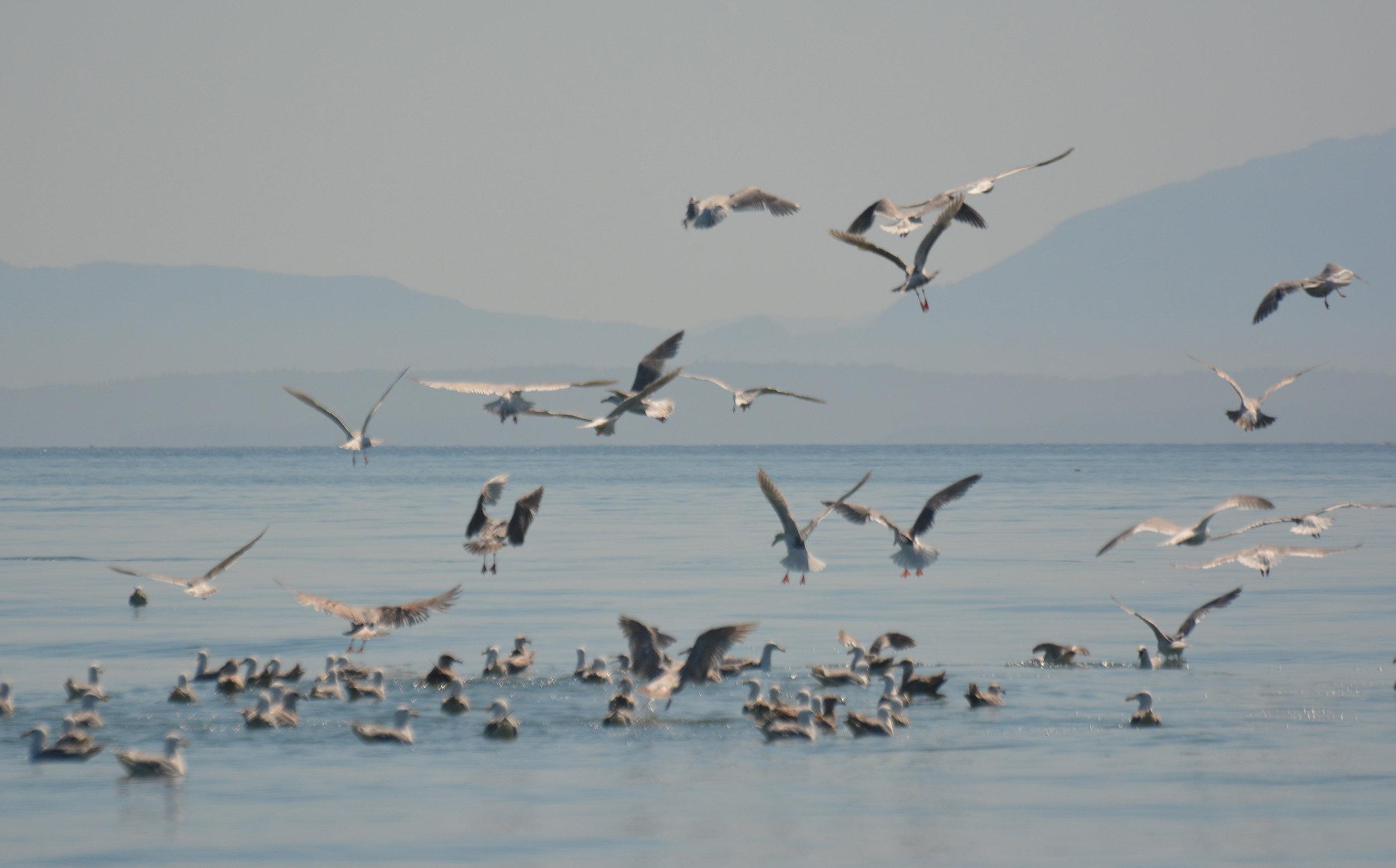 Gulls after a big bait ball in the water! Photo by Rodrigo Menezes.