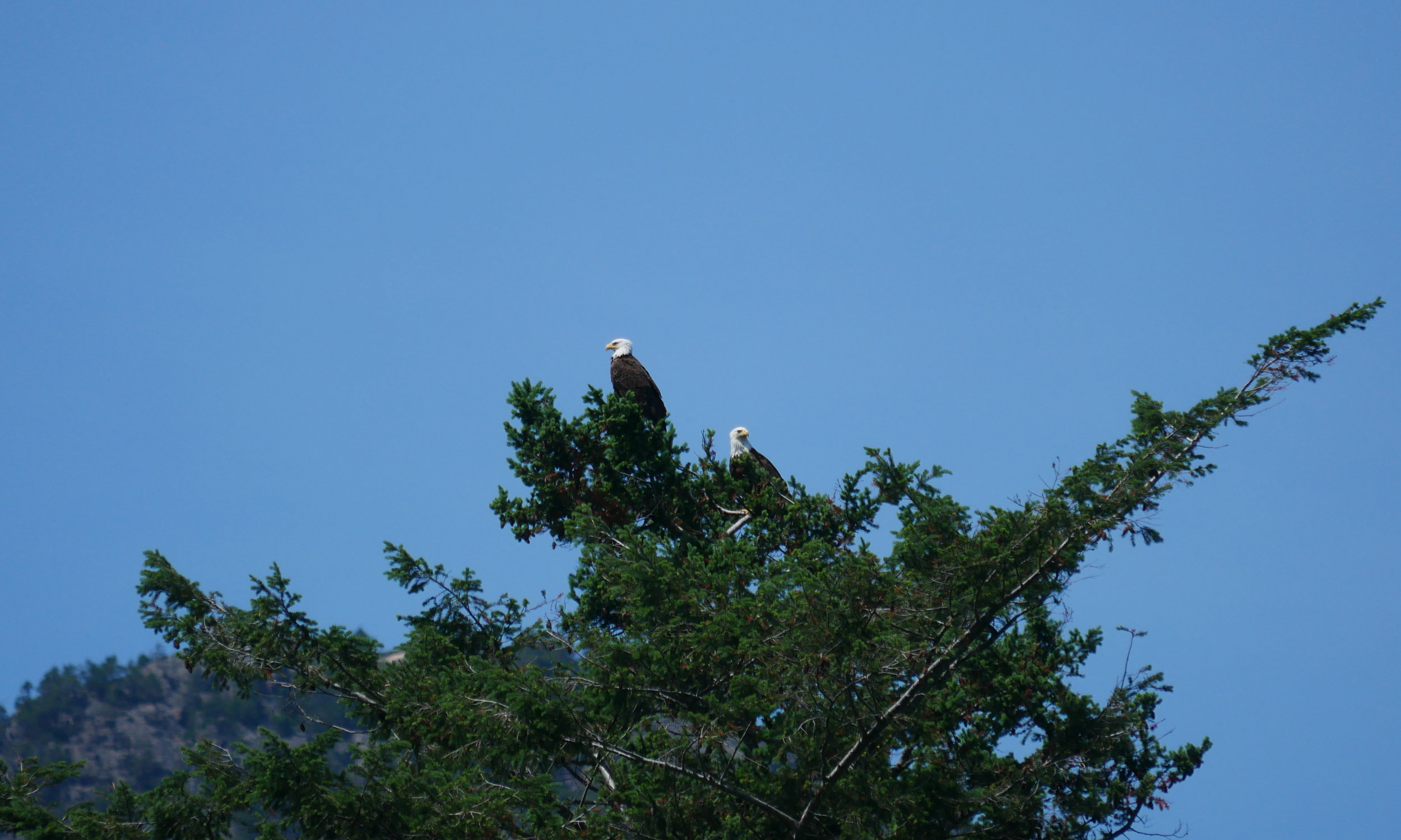A couple of bald eagles keeping watch over us.