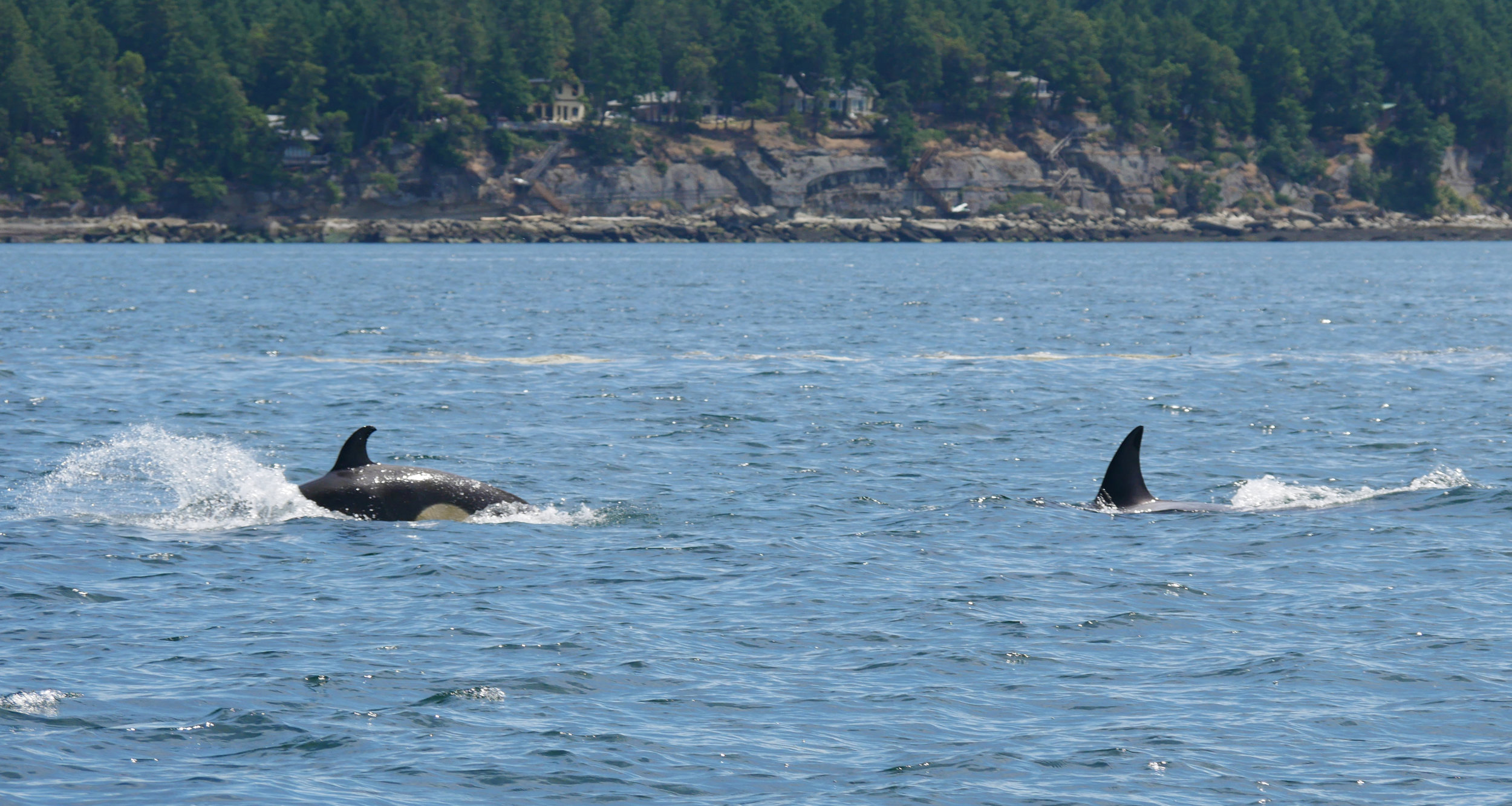 Calf with the hooked dorsal (left) surfacing with another member of the pod (right). Photo by Val Watson.