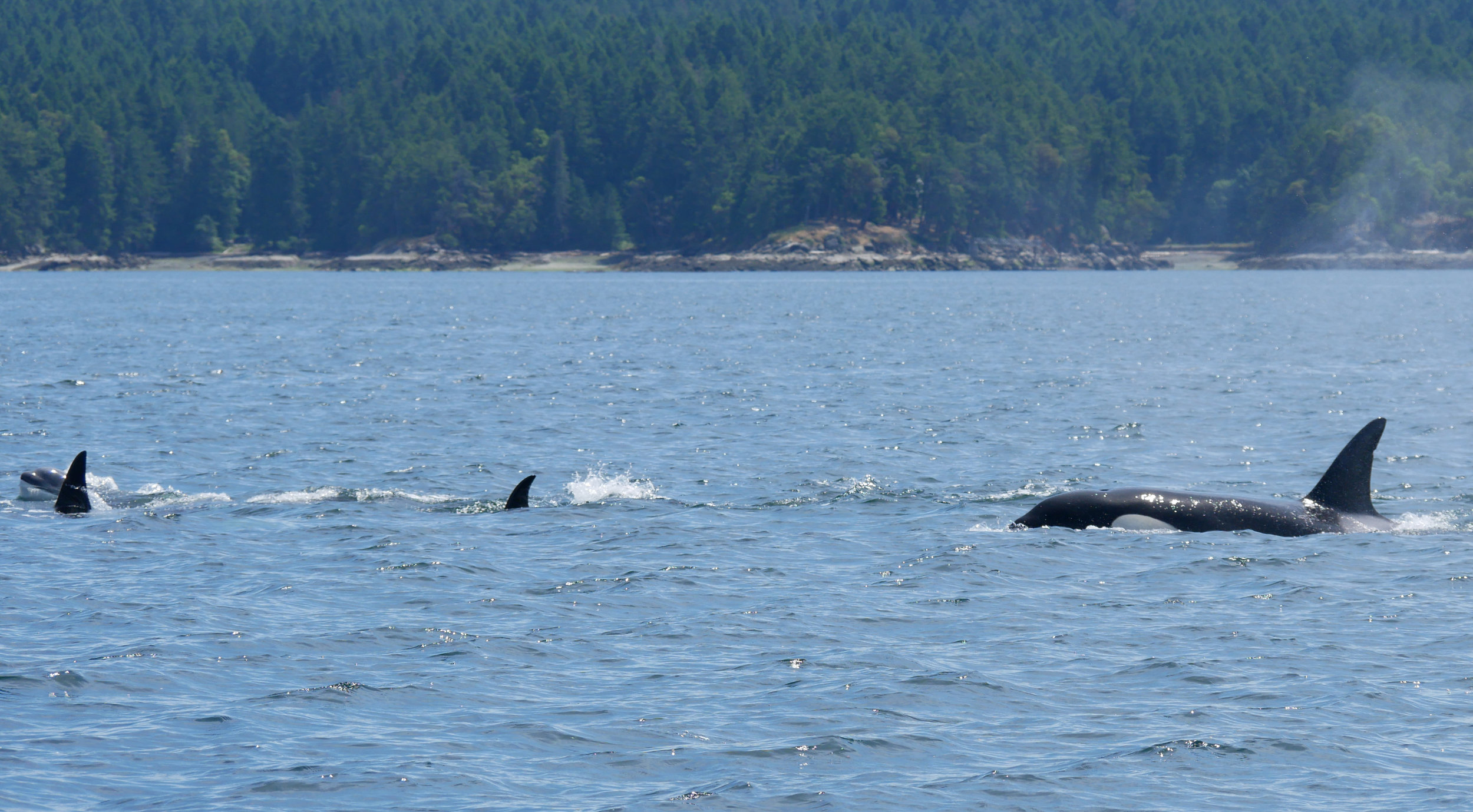 Four members of the pod surfacing together! Photo by Val Watson.
