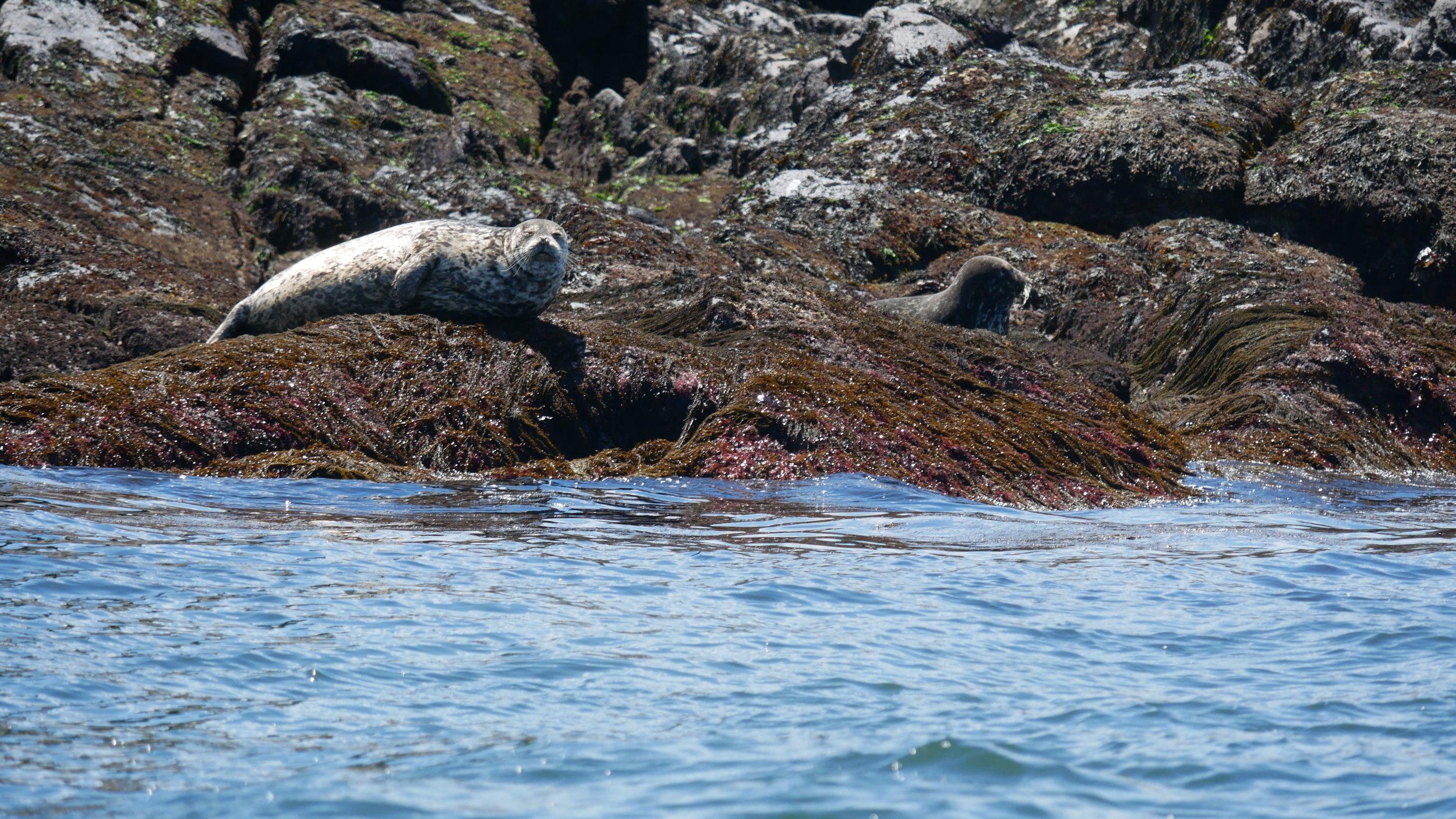 Harbour seals! Photo by Cheyenne Brewster.