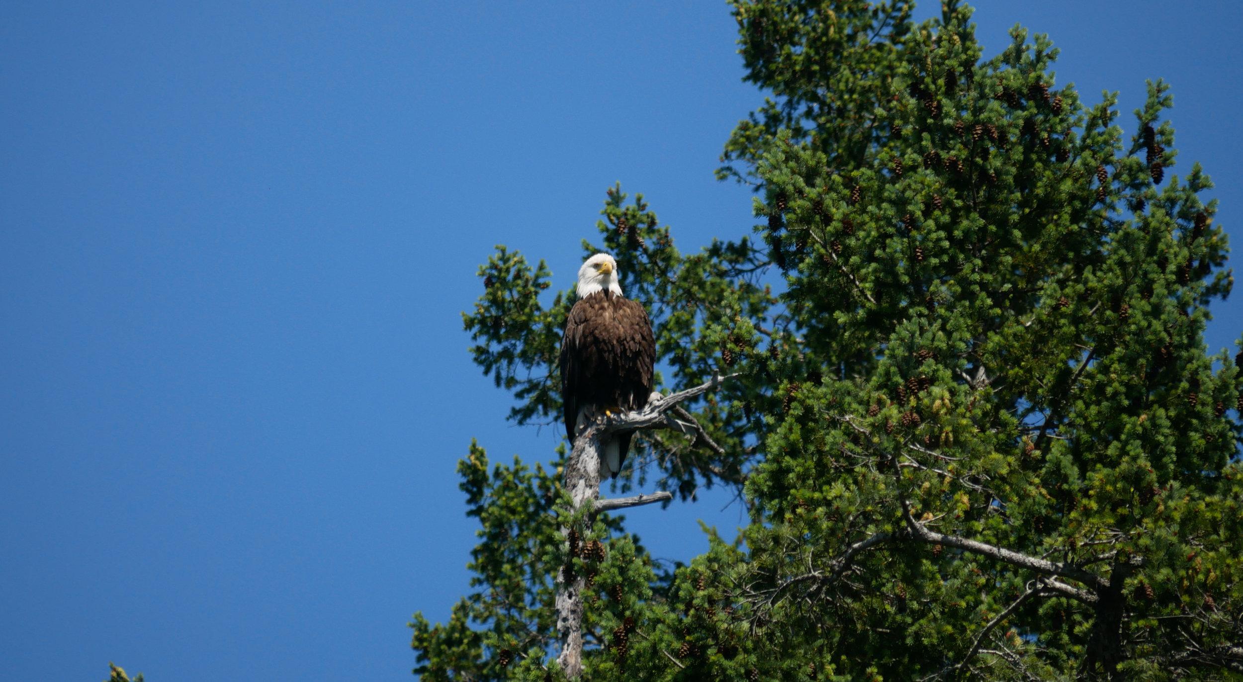 Bald Eagle. Photo by Cheyenne Brewster.