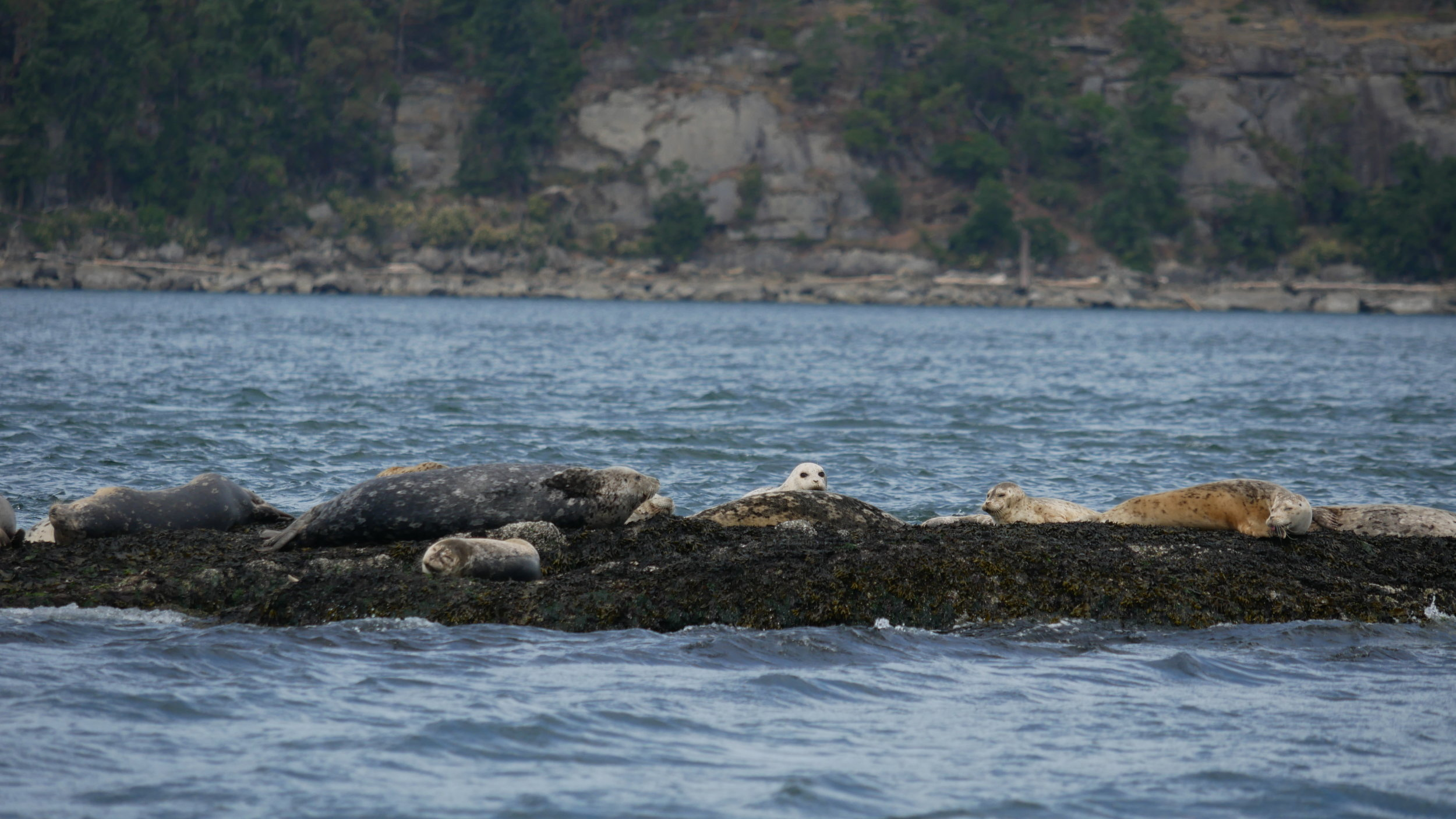 Harbour seals relaxing on the rocks. Photo by Rodrigo Menezes.