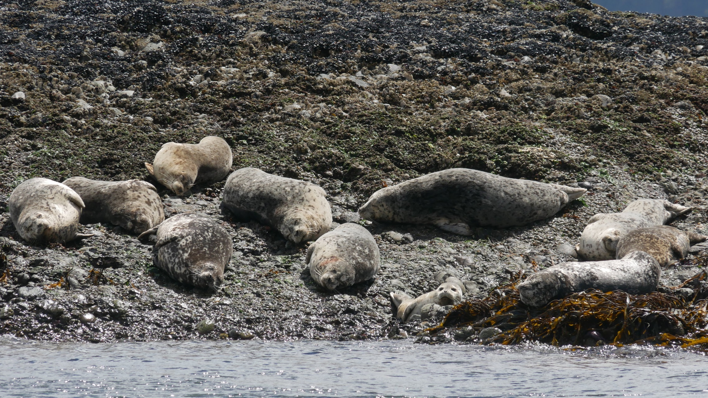Harbour seals basking in the sun. Photo by Rodrigo Menezes.