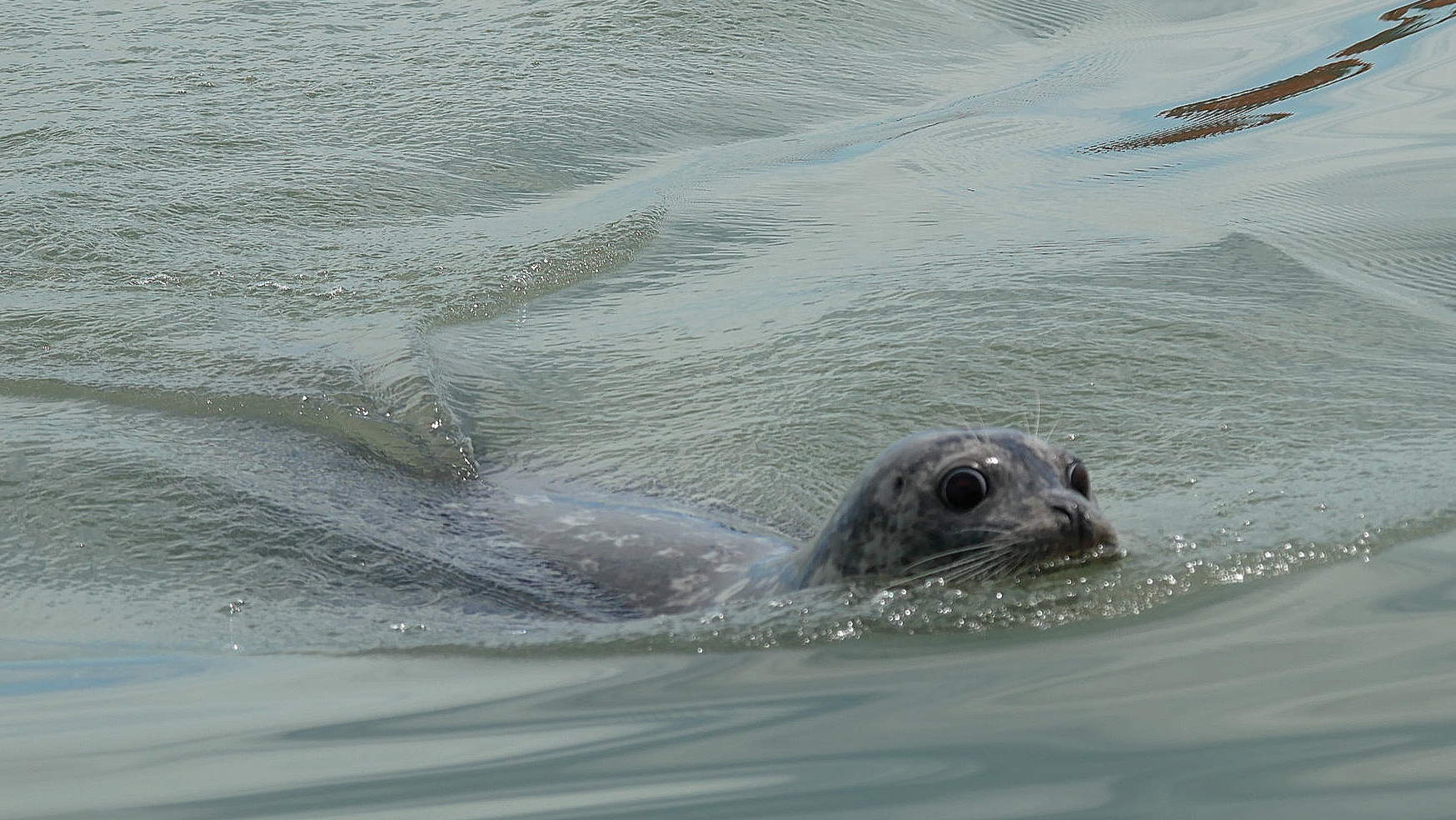 Harbour seal trying to swim away from the Orcas. Photo: Cheyenne Brewster.