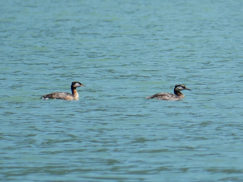 Horned Grebes. Photo by Val Watson.
