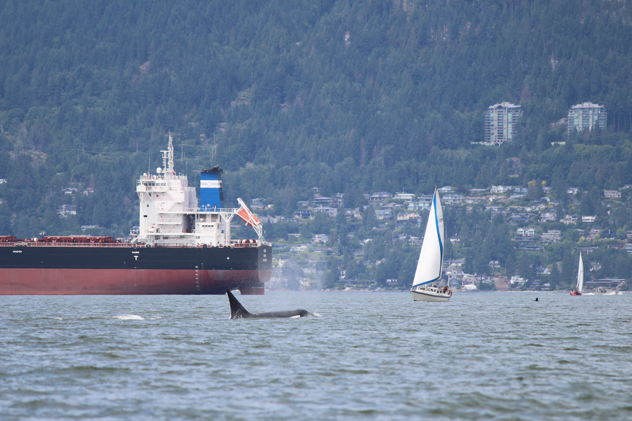 Even with Vancouver's busy waters, the whales are still searching for prey. Photo by Natalie Reichenbacher.