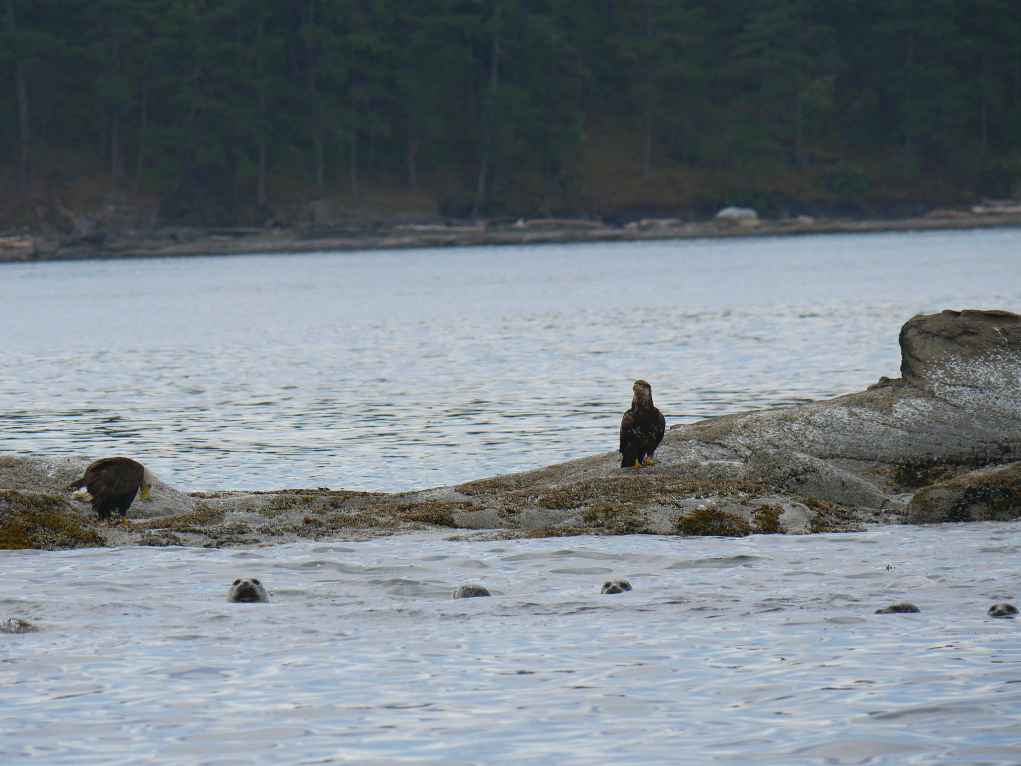 Bald Eagles enjoying lunch, Harbour Seals taking a swim! Photo by Val Watson.