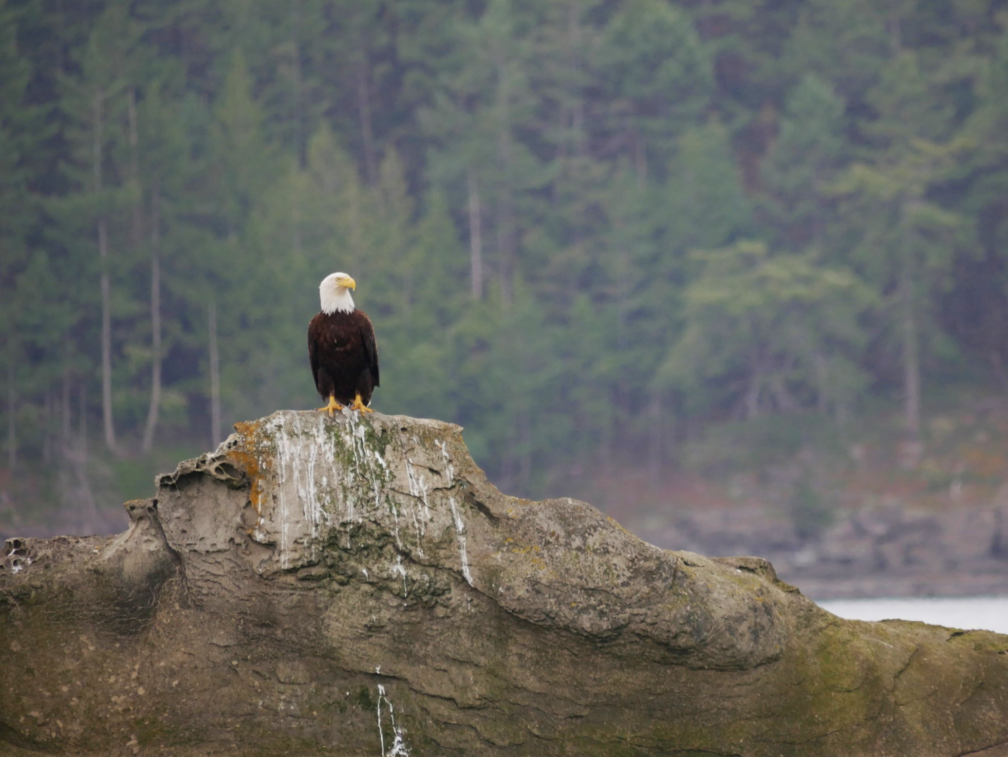 Adult Bald Eagle. Photo by Val Watson.