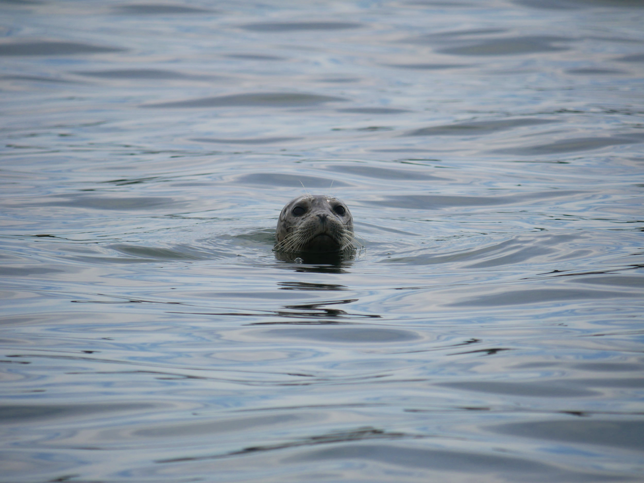 Curious Harbour Seal investigates the boat. Photo by Val Watson