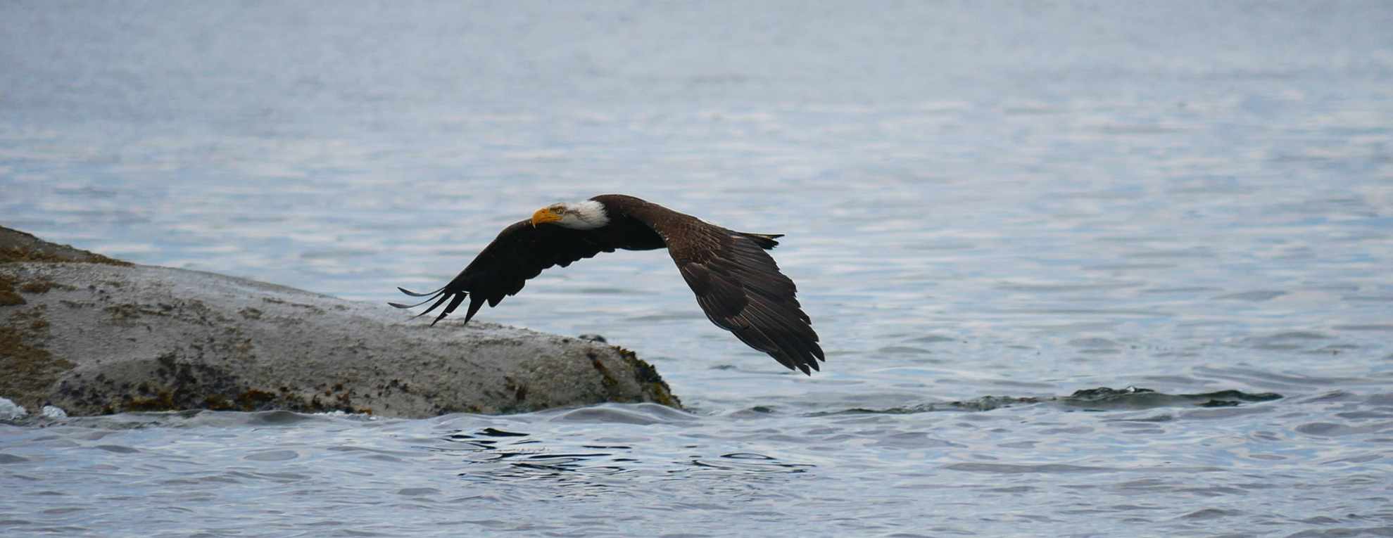Bald Eagle coming in to land. Photo by Val Watson.