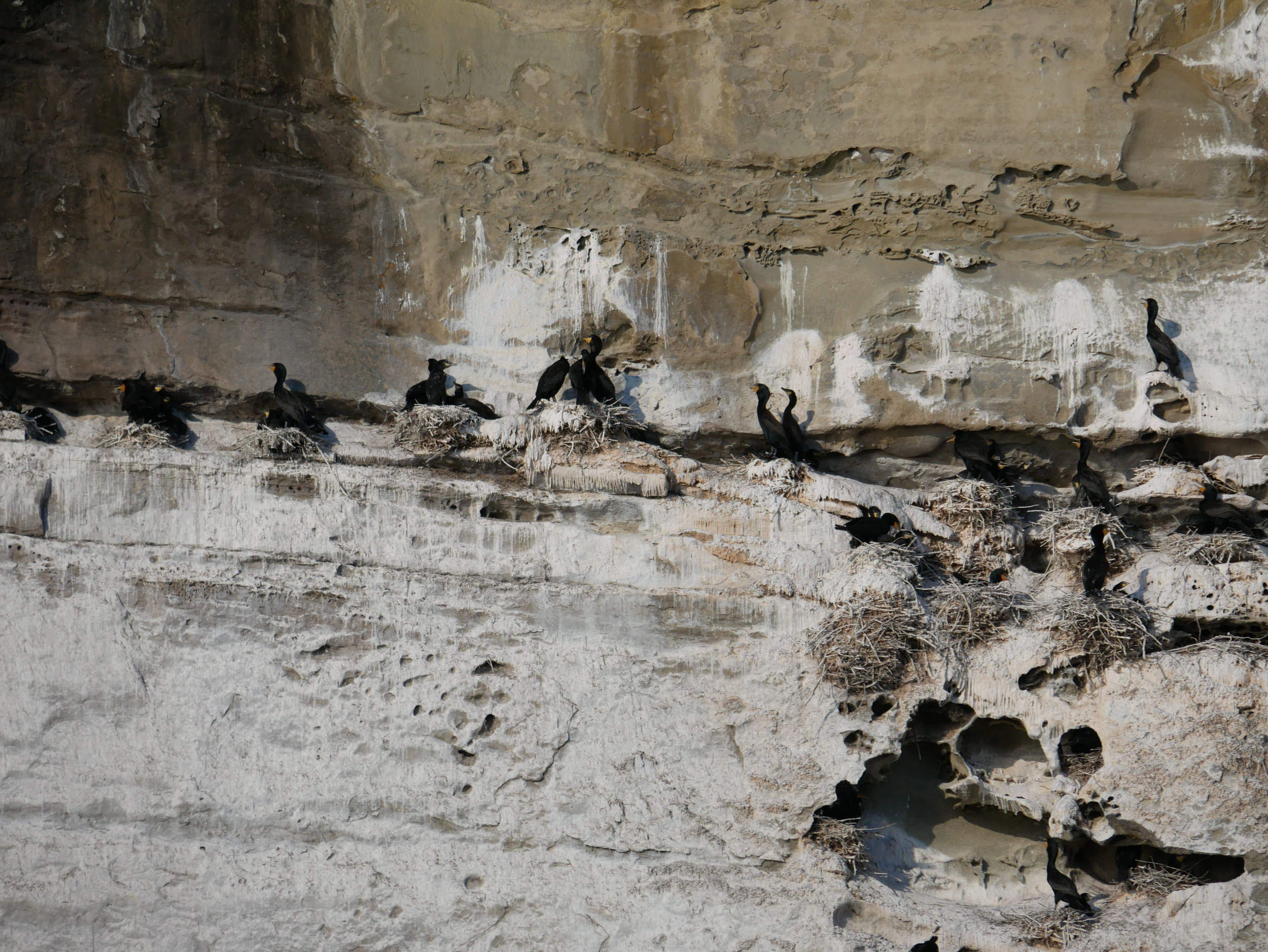 Cormorants! Did you know that they use their poop as cement for their cliffside nests? Photo by Cheyenne Brewster (3:30).