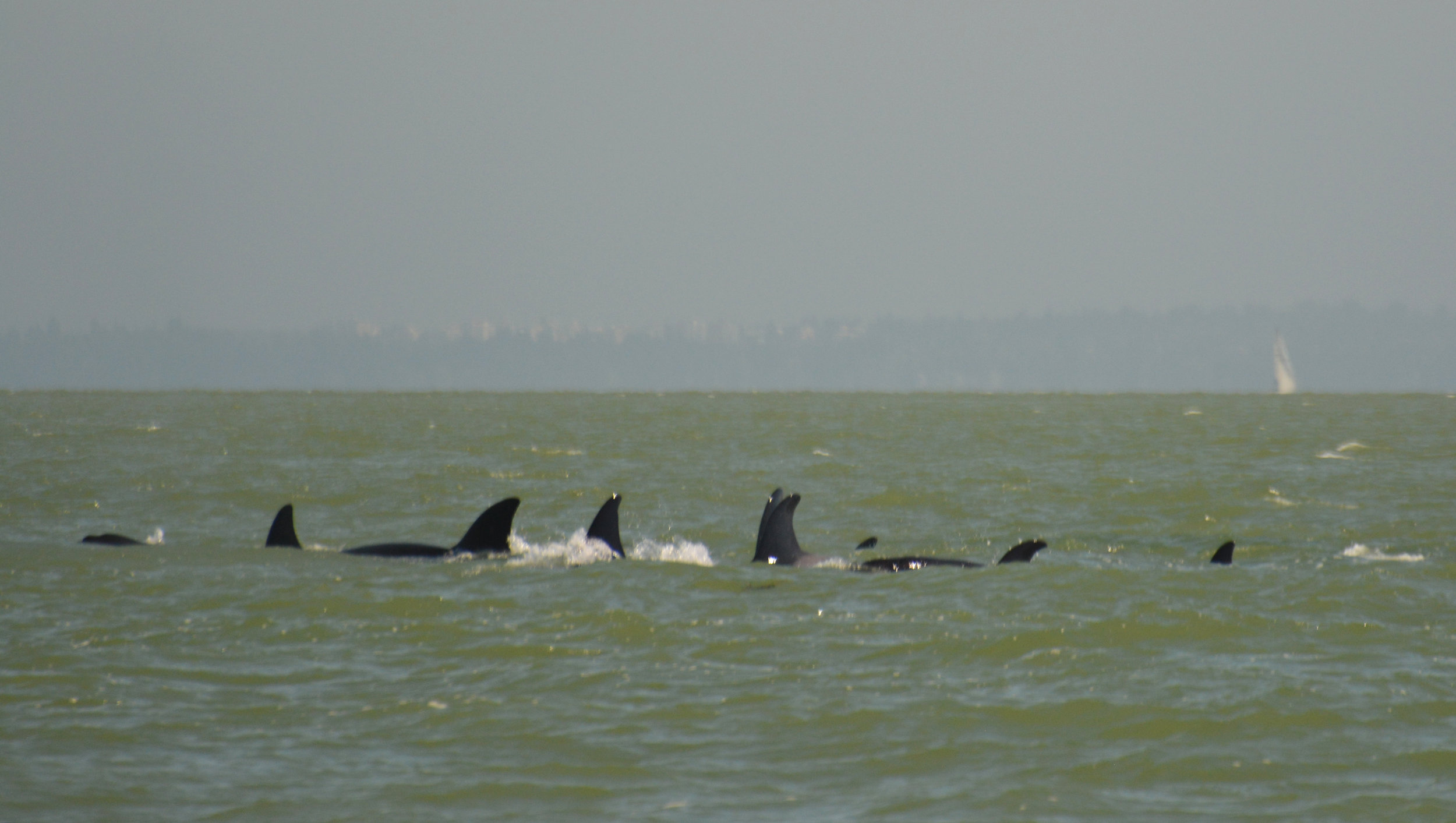 How many whales can you count? We think 9! Photo by Rebeka Pirker.