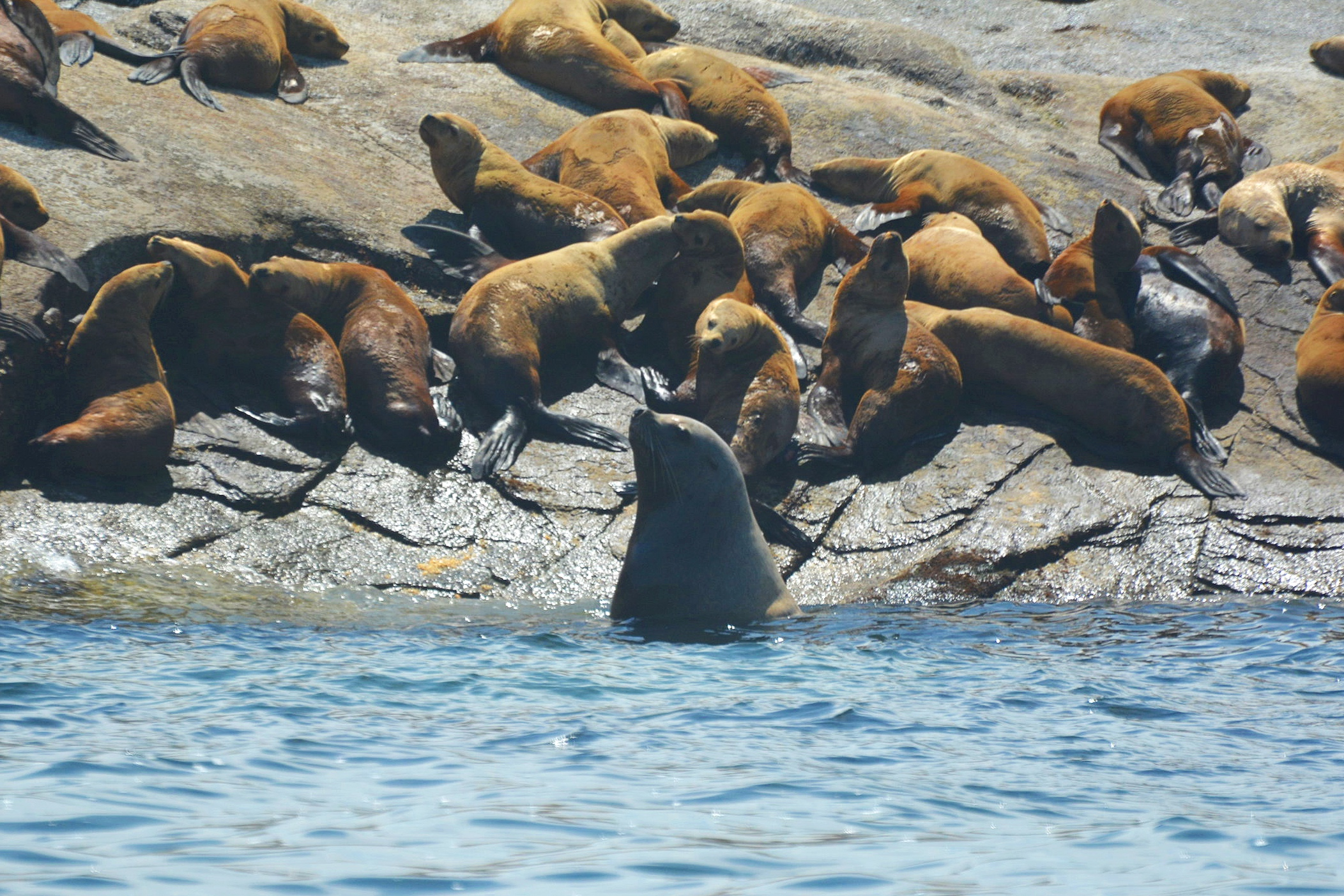Challenging male Steller's Sea Lion. Photo by Rebeka Pirker.