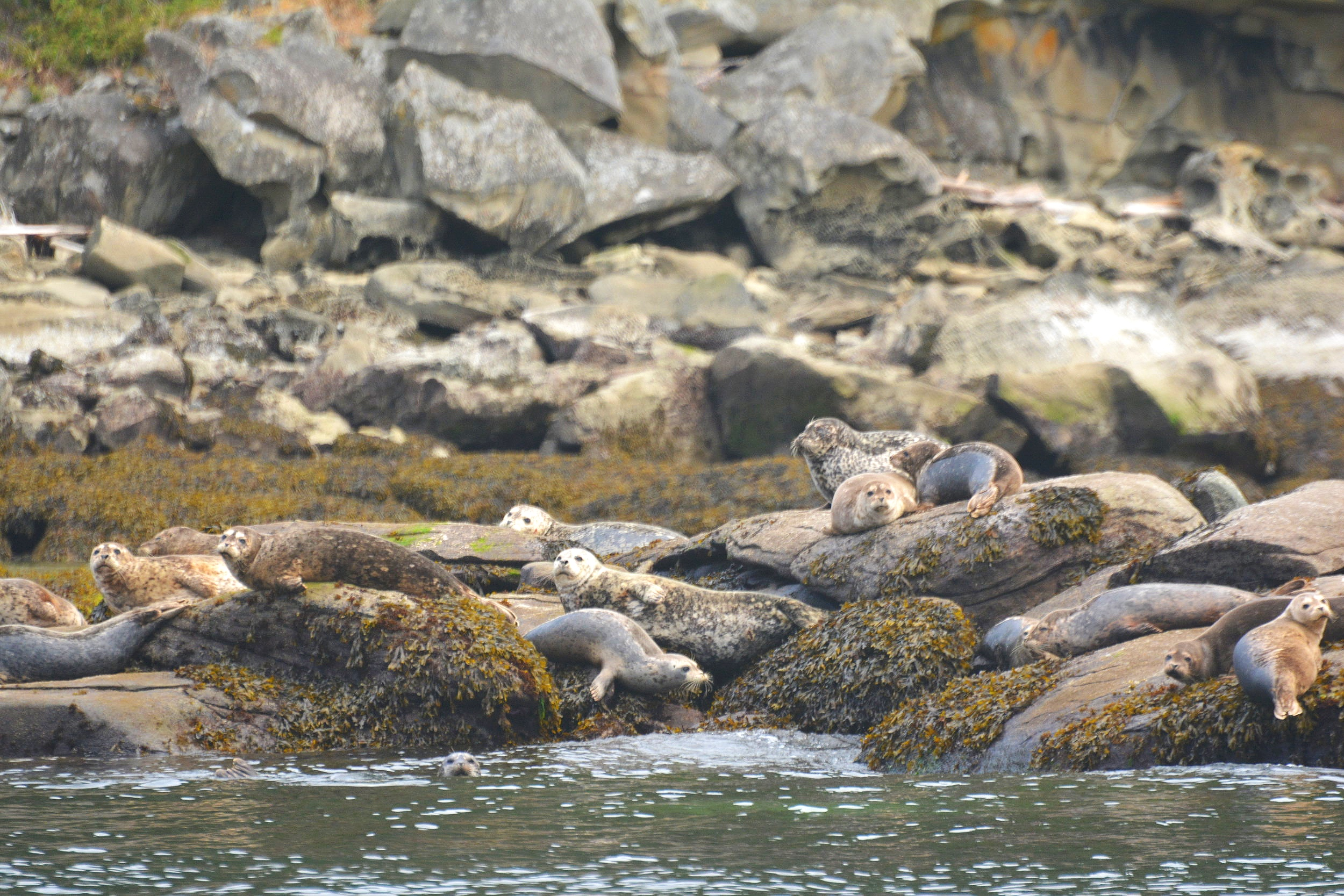 Harbour seals working on their tan. Photo by Rebeka Pirker.