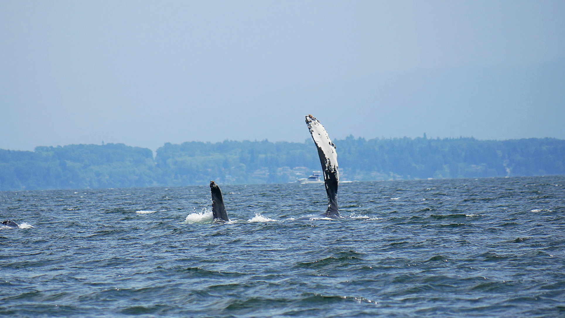 Divot (BCX1057) and another humpback getting ready for a pec slap. Photo by Rebeka Pirker