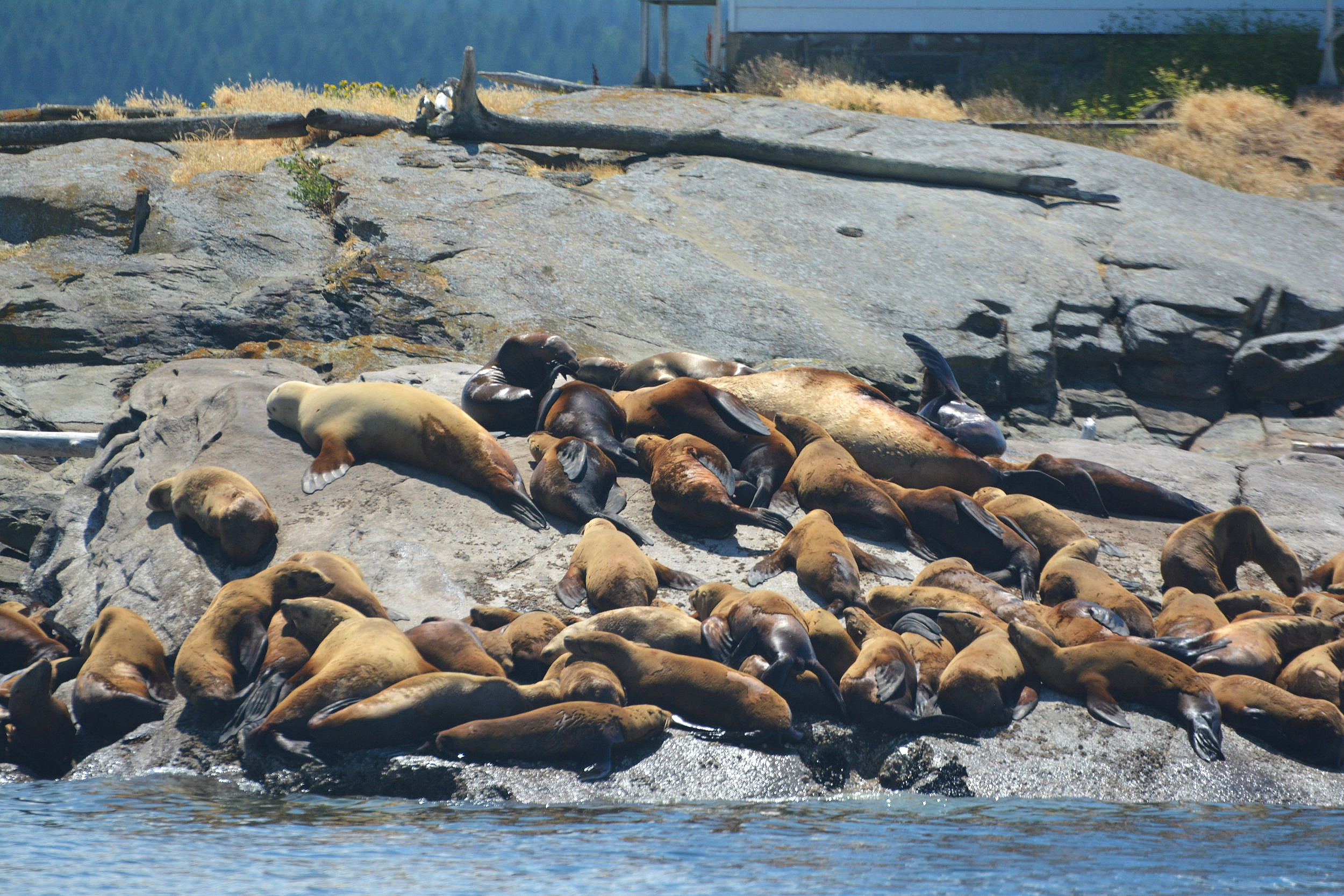 Steller Sea Lions working on their tans. Photo by Jilann Lechner.