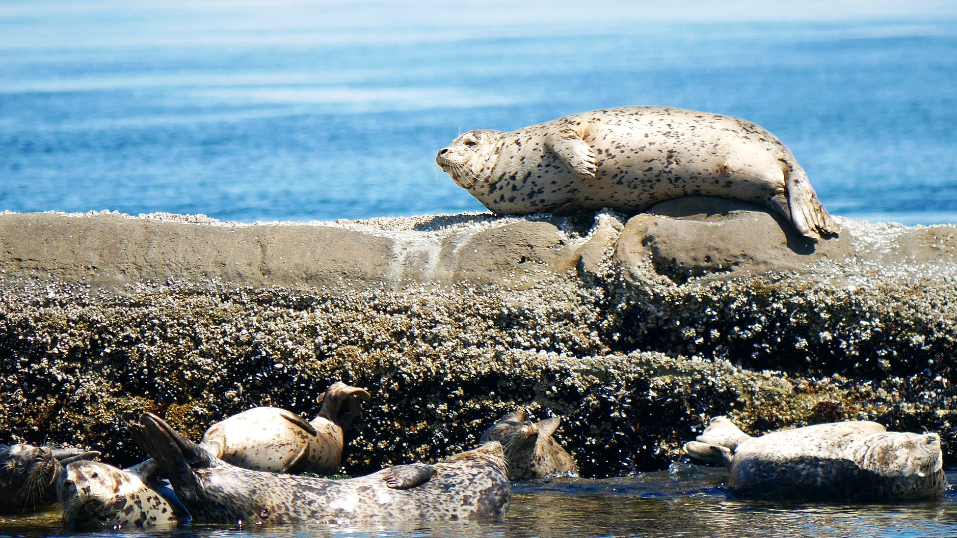Harbour Seals relaxing in the afternoon sun. photo by Val Watson.