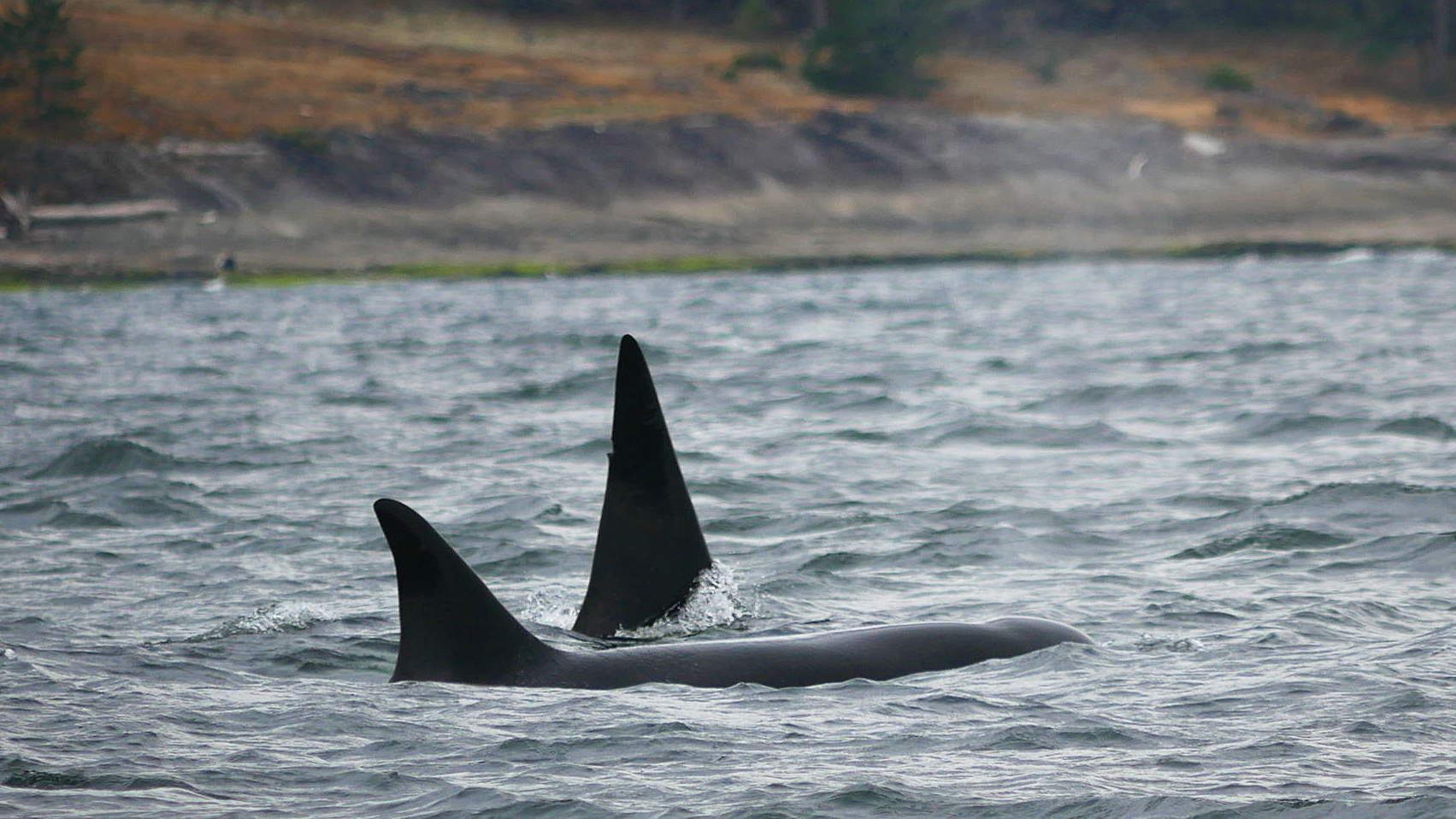 Copper has a pretty distinct notch in the top of his fin, can you see it? Photo by Val Watson