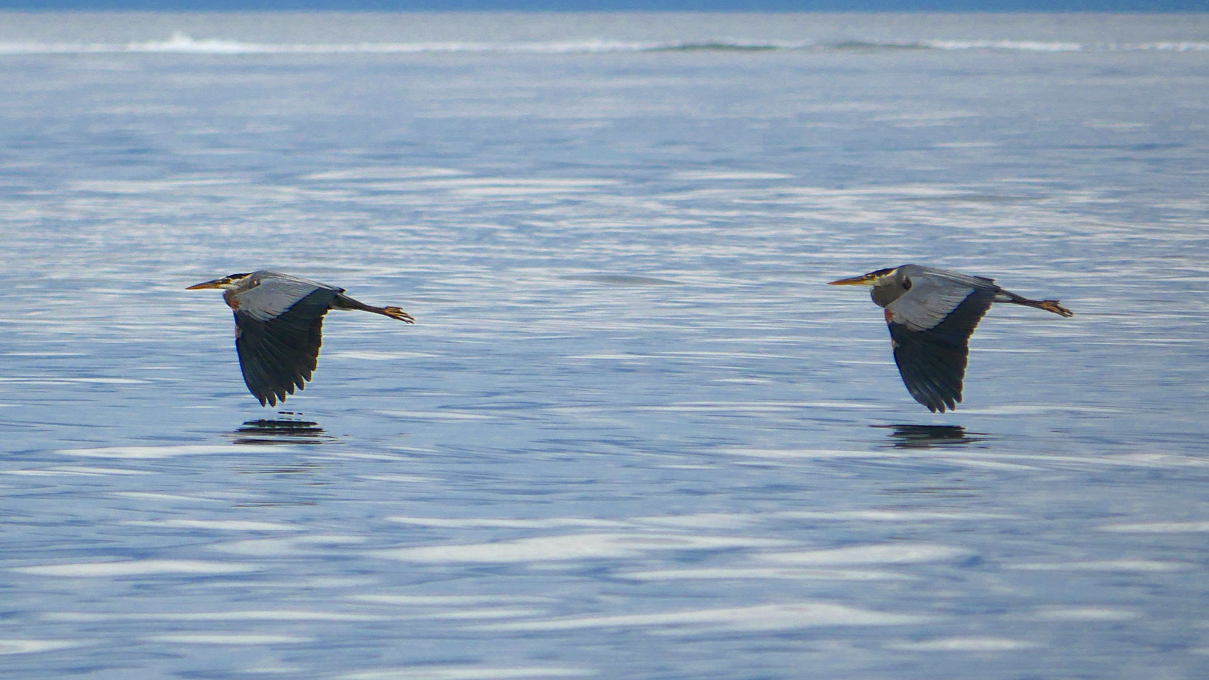 Herons are a common sighting on our tours! Photo by Val Watson
