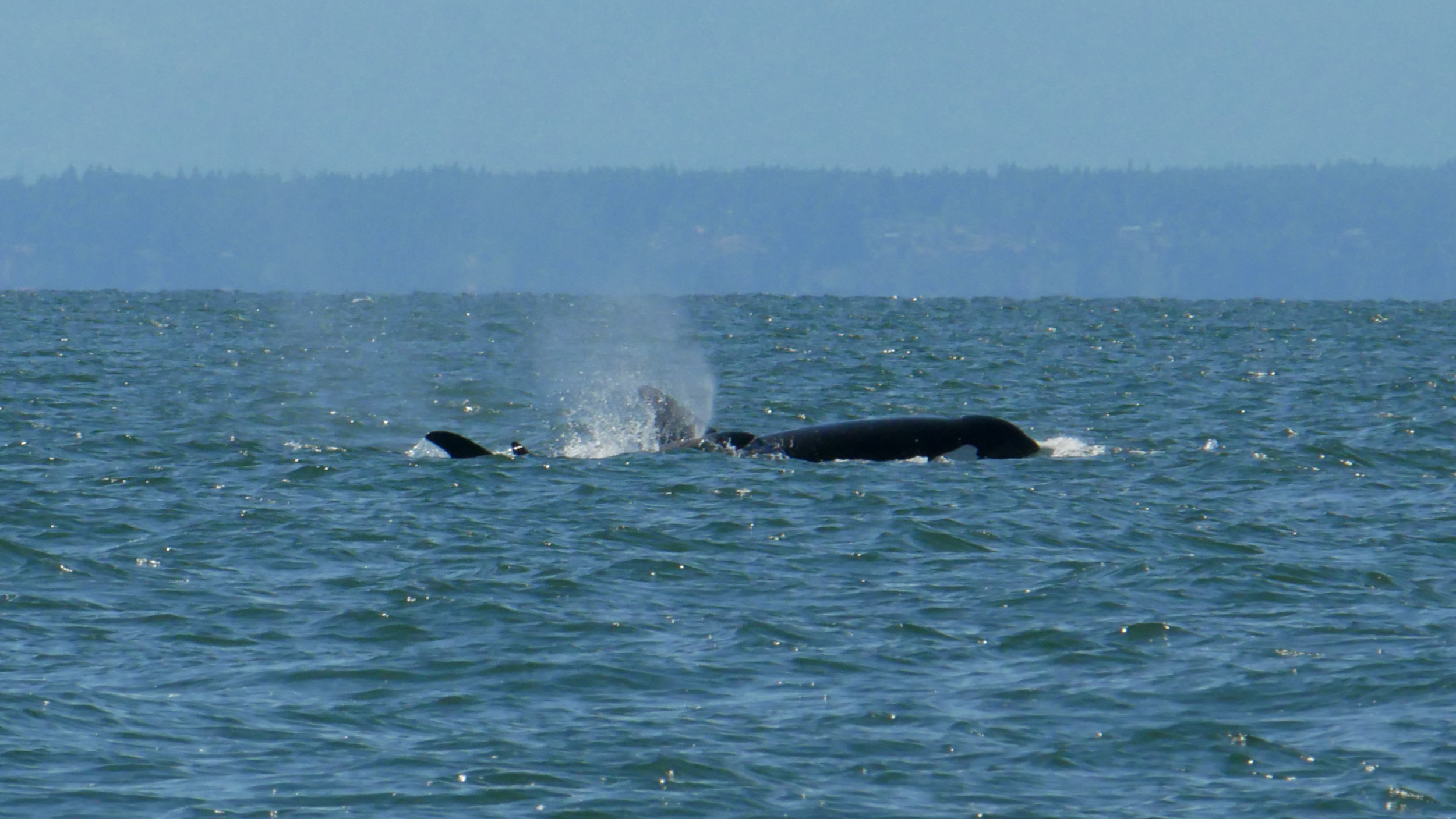 Although the dorsal isn't clear in the picture the distinct shape of the front of the eye patch can be seen coming out of the water! Photo by Val Watson.