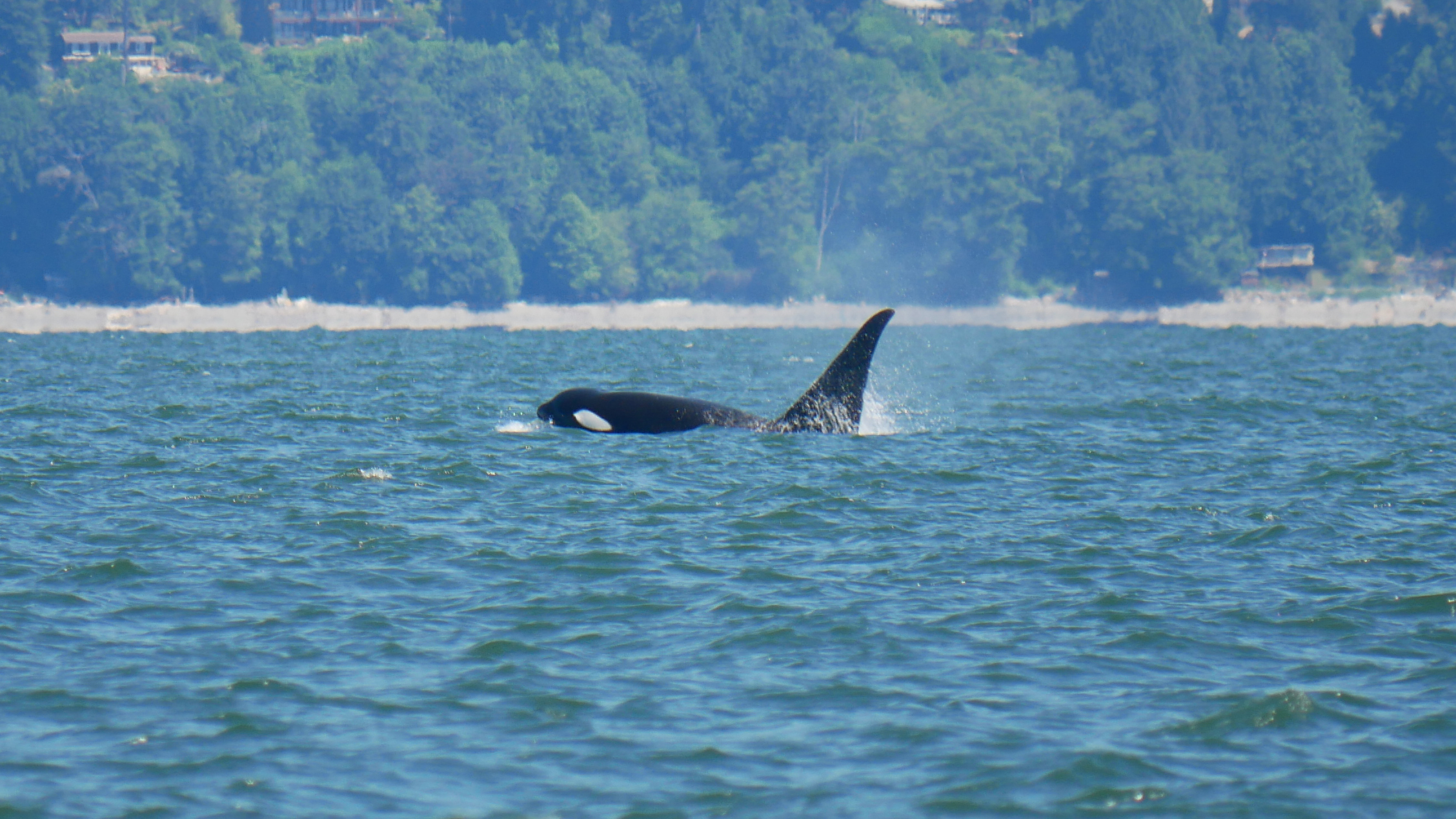 T046E with his impressive dorsal fin breaking through the water. Photo by Val Watson.